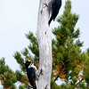 "Black-backed Woodpeckers © 2008 C. M. Neri Whitefish Point, MI BBWO  <div class=""ss-paypal-button""><div class=""ss-paypal-add-to-cart-section""><div class=""ss-paypal-product-options""><h4>Mat Sizes</h4><ul><li><a href=""https://www.paypal.com/cgi-bin/webscr?cmd=_cart&amp;business=T77V5VKCW4K2U&amp;lc=US&amp;item_name=Black-backed%20Woodpeckers%20%C2%A9%202008%20C.%20M.%20Neri%20Whitefish%20Point%2C%20MI%20BBWO&amp;item_number=http%3A%2F%2Fwww.nightflightimages.com%2FGalleries-1%2FUpper-Peninsula-of-MI%2Fi-x9phQjD&amp;button_subtype=products&amp;no_note=0&amp;cn=Add%20special%20instructions%20to%20the%20seller%3A&amp;no_shipping=2&amp;currency_code=USD&amp;weight_unit=lbs&amp;add=1&amp;bn=PP-ShopCartBF%3Abtn_cart_SM.gif%3ANonHosted&amp;on0=Mat%20Sizes&amp;option_select0=5%20x%207&amp;option_amount0=10.00&amp;option_select1=8%20x%2010&amp;option_amount1=18.00&amp;option_select2=11%20x%2014&amp;option_amount2=28.00&amp;option_select3=card&amp;option_amount3=4.00&amp;option_index=0&amp;charset=utf-8&amp;submit=&amp;os0=5%20x%207"" target=""paypal""><span>5 x 7 $11.00 USD</span><img src=""https://www.paypalobjects.com/en_US/i/btn/btn_cart_SM.gif""></a></li><li><a href=""https://www.paypal.com/cgi-bin/webscr?cmd=_cart&amp;business=T77V5VKCW4K2U&amp;lc=US&amp;item_name=Black-backed%20Woodpeckers%20%C2%A9%202008%20C.%20M.%20Neri%20Whitefish%20Point%2C%20MI%20BBWO&amp;item_number=http%3A%2F%2Fwww.nightflightimages.com%2FGalleries-1%2FUpper-Peninsula-of-MI%2Fi-x9phQjD&amp;button_subtype=products&amp;no_note=0&amp;cn=Add%20special%20instructions%20to%20the%20seller%3A&amp;no_shipping=2&amp;currency_code=USD&amp;weight_unit=lbs&amp;add=1&amp;bn=PP-ShopCartBF%3Abtn_cart_SM.gif%3ANonHosted&amp;on0=Mat%20Sizes&amp;option_select0=5%20x%207&amp;option_amount0=10.00&amp;option_select1=8%20x%2010&amp;option_amount1=18.00&amp;option_select2=11%20x%2014&amp;option_amount2=28.00&amp;option_select3=card&amp;option_amount3=4.00&amp;option_index=0&amp;charset=utf-8&amp;submit=&amp;os0=8%20x%2010"" target=""paypal""><span>8 x 10 $19.00 USD</span><img src=""https://www.paypalobjects.com/en_US/i/btn/btn_cart_SM.gif""></a></li><li><a href=""https://www.paypal.com/cgi-bin/webscr?cmd=_cart&amp;business=T77V5VKCW4K2U&amp;lc=US&amp;item_name=Black-backed%20Woodpeckers%20%C2%A9%202008%20C.%20M.%20Neri%20Whitefish%20Point%2C%20MI%20BBWO&amp;item_number=http%3A%2F%2Fwww.nightflightimages.com%2FGalleries-1%2FUpper-Peninsula-of-MI%2Fi-x9phQjD&amp;button_subtype=products&amp;no_note=0&amp;cn=Add%20special%20instructions%20to%20the%20seller%3A&amp;no_shipping=2&amp;currency_code=USD&amp;weight_unit=lbs&amp;add=1&amp;bn=PP-ShopCartBF%3Abtn_cart_SM.gif%3ANonHosted&amp;on0=Mat%20Sizes&amp;option_select0=5%20x%207&amp;option_amount0=10.00&amp;option_select1=8%20x%2010&amp;option_amount1=18.00&amp;option_select2=11%20x%2014&amp;option_amount2=28.00&amp;option_select3=card&amp;option_amount3=4.00&amp;option_index=0&amp;charset=utf-8&amp;submit=&amp;os0=11%20x%2014"" target=""paypal""><span>11 x 14 $29.00 USD</span><img src=""https://www.paypalobjects.com/en_US/i/btn/btn_cart_SM.gif""></a></li><li><a href=""https://www.paypal.com/cgi-bin/webscr?cmd=_cart&amp;business=T77V5VKCW4K2U&amp;lc=US&amp;item_name=Black-backed%20Woodpeckers%20%C2%A9%202008%20C.%20M.%20Neri%20Whitefish%20Point%2C%20MI%20BBWO&amp;item_number=http%3A%2F%2Fwww.nightflightimages.com%2FGalleries-1%2FUpper-Peninsula-of-MI%2Fi-x9phQjD&amp;button_subtype=products&amp;no_note=0&amp;cn=Add%20special%20instructions%20to%20the%20seller%3A&amp;no_shipping=2&amp;currency_code=USD&amp;weight_unit=lbs&amp;add=1&amp;bn=PP-ShopCartBF%3Abtn_cart_SM.gif%3ANonHosted&amp;on0=Mat%20Sizes&amp;option_select0=5%20x%207&amp;option_amount0=10.00&amp;option_select1=8%20x%2010&amp;option_amount1=18.00&amp;option_select2=11%20x%2014&amp;option_amount2=28.00&amp;option_select3=card&amp;option_amount3=4.00&amp;option_index=0&amp;charset=utf-8&amp;submit=&amp;os0=card"" target=""paypal""><span>card $5.00 USD</span><img src=""https://www.paypalobjects.com/en_US/i/btn/btn_cart_SM.gif""></a></li></ul></div></div> <div class=""ss-paypal-view-cart-section""><a href=""https://www.paypal.com/cgi-bin/webscr?cmd=_cart&amp;business=T77V5VKCW4K2U&amp;display=1&amp;item_name=Black-backed%20Woodpeckers%20%C2%A9%202008%20C.%20M.%20Neri%20Whitefish%20Point%2C%20MI%20BBWO&amp;item_number=http%3A%2F%2Fwww.nightflightimages.com%2FGalleries-1%2FUpper-Peninsula-of-MI%2Fi-x9phQjD&amp;charset=utf-8&amp;submit="" target=""paypal"" class=""ss-paypal-submit-button""><img src=""https://www.paypalobjects.com/en_US/i/btn/btn_viewcart_LG.gif""></a></div></div><div class=""ss-paypal-button-end""></div>"