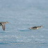 """Green-winged Teal over Lake Superior © 2008 C. M. Neri.  Whitefish Point, MI GWTE  <div class=""""ss-paypal-button""""><div class=""""ss-paypal-add-to-cart-section""""><div class=""""ss-paypal-product-options""""><h4>Mat Sizes</h4><ul><li><a href=""""https://www.paypal.com/cgi-bin/webscr?cmd=_cart&amp;business=T77V5VKCW4K2U&amp;lc=US&amp;item_name=Green-winged%20Teal%20over%20Lake%20Superior%20%C2%A9%202008%20C.%20M.%20Neri.%20%20Whitefish%20Point%2C%20MI%20GWTE&amp;item_number=http%3A%2F%2Fwww.nightflightimages.com%2FGalleries-1%2FImpressions%2Fi-xHJtgcq&amp;button_subtype=products&amp;no_note=0&amp;cn=Add%20special%20instructions%20to%20the%20seller%3A&amp;no_shipping=2&amp;currency_code=USD&amp;weight_unit=lbs&amp;add=1&amp;bn=PP-ShopCartBF%3Abtn_cart_SM.gif%3ANonHosted&amp;on0=Mat%20Sizes&amp;option_select0=5%20x%207&amp;option_amount0=10.00&amp;option_select1=8%20x%2010&amp;option_amount1=18.00&amp;option_select2=11%20x%2014&amp;option_amount2=28.00&amp;option_select3=card&amp;option_amount3=4.00&amp;option_index=0&amp;charset=utf-8&amp;submit=&amp;os0=5%20x%207"""" target=""""paypal""""><span>5 x 7 $11.00 USD</span><img src=""""https://www.paypalobjects.com/en_US/i/btn/btn_cart_SM.gif""""></a></li><li><a href=""""https://www.paypal.com/cgi-bin/webscr?cmd=_cart&amp;business=T77V5VKCW4K2U&amp;lc=US&amp;item_name=Green-winged%20Teal%20over%20Lake%20Superior%20%C2%A9%202008%20C.%20M.%20Neri.%20%20Whitefish%20Point%2C%20MI%20GWTE&amp;item_number=http%3A%2F%2Fwww.nightflightimages.com%2FGalleries-1%2FImpressions%2Fi-xHJtgcq&amp;button_subtype=products&amp;no_note=0&amp;cn=Add%20special%20instructions%20to%20the%20seller%3A&amp;no_shipping=2&amp;currency_code=USD&amp;weight_unit=lbs&amp;add=1&amp;bn=PP-ShopCartBF%3Abtn_cart_SM.gif%3ANonHosted&amp;on0=Mat%20Sizes&amp;option_select0=5%20x%207&amp;option_amount0=10.00&amp;option_select1=8%20x%2010&amp;option_amount1=18.00&amp;option_select2=11%20x%2014&amp;option_amount2=28.00&amp;option_select3=card&amp;option_amount3=4.00&amp;option_index=0&amp;charset=utf"""