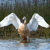 "Trumpeter Swan © 2008 C. M. Neri Seney National Wildlife Refuge, MI TRSW  <div class=""ss-paypal-button""><div class=""ss-paypal-add-to-cart-section""><div class=""ss-paypal-product-options""><h4>Mat Sizes</h4><ul><li><a href=""https://www.paypal.com/cgi-bin/webscr?cmd=_cart&business=T77V5VKCW4K2U&lc=US&item_name=Trumpeter%20Swan%20%C2%A9%202008%20C.%20M.%20Neri%20Seney%20National%20Wildlife%20Refuge%2C%20MI%20TRSW&item_number=http%3A%2F%2Fwww.nightflightimages.com%2FGalleries-1%2FUpper-Peninsula-of-MI%2Fi-zvbNrb4&button_subtype=products&no_note=0&cn=Add%20special%20instructions%20to%20the%20seller%3A&no_shipping=2&currency_code=USD&weight_unit=lbs&add=1&bn=PP-ShopCartBF%3Abtn_cart_SM.gif%3ANonHosted&on0=Mat%20Sizes&option_select0=5%20x%207&option_amount0=10.00&option_select1=8%20x%2010&option_amount1=18.00&option_select2=11%20x%2014&option_amount2=28.00&option_select3=card&option_amount3=4.00&option_index=0&charset=utf-8&submit=&os0=5%20x%207"" target=""paypal""><span>5 x 7 $11.00 USD</span><img src=""https://www.paypalobjects.com/en_US/i/btn/btn_cart_SM.gif""></a></li><li><a href=""https://www.paypal.com/cgi-bin/webscr?cmd=_cart&business=T77V5VKCW4K2U&lc=US&item_name=Trumpeter%20Swan%20%C2%A9%202008%20C.%20M.%20Neri%20Seney%20National%20Wildlife%20Refuge%2C%20MI%20TRSW&item_number=http%3A%2F%2Fwww.nightflightimages.com%2FGalleries-1%2FUpper-Peninsula-of-MI%2Fi-zvbNrb4&button_subtype=products&no_note=0&cn=Add%20special%20instructions%20to%20the%20seller%3A&no_shipping=2&currency_code=USD&weight_unit=lbs&add=1&bn=PP-ShopCartBF%3Abtn_cart_SM.gif%3ANonHosted&on0=Mat%20Sizes&option_select0=5%20x%207&option_amount0=10.00&option_select1=8%20x%2010&option_amount1=18.00&option_select2=11%20x%2014&option_amount2=28.00&option_select3=card&option_amount3=4.00&option_index=0&charset=utf-8&submit=&os0=8%20x%2010"" target=""paypal""><span>8 x 10 $19.00 USD</span><img src=""https://www.paypalobjects.com/en_US/i/btn/btn_cart_SM.gif""></a></li><li><a href=""https://www.paypal.com/cgi-bin/webscr?cmd=_cart&business=T77V5VKCW4K2U&lc=US&item_name=Trumpeter%20Swan%20%C2%A9%202008%20C.%20M.%20Neri%20Seney%20National%20Wildlife%20Refuge%2C%20MI%20TRSW&item_number=http%3A%2F%2Fwww.nightflightimages.com%2FGalleries-1%2FUpper-Peninsula-of-MI%2Fi-zvbNrb4&button_subtype=products&no_note=0&cn=Add%20special%20instructions%20to%20the%20seller%3A&no_shipping=2&currency_code=USD&weight_unit=lbs&add=1&bn=PP-ShopCartBF%3Abtn_cart_SM.gif%3ANonHosted&on0=Mat%20Sizes&option_select0=5%20x%207&option_amount0=10.00&option_select1=8%20x%2010&option_amount1=18.00&option_select2=11%20x%2014&option_amount2=28.00&option_select3=card&option_amount3=4.00&option_index=0&charset=utf-8&submit=&os0=11%20x%2014"" target=""paypal""><span>11 x 14 $29.00 USD</span><img src=""https://www.paypalobjects.com/en_US/i/btn/btn_cart_SM.gif""></a></li><li><a href=""https://www.paypal.com/cgi-bin/webscr?cmd=_cart&business=T77V5VKCW4K2U&lc=US&item_name=Trumpeter%20Swan%20%C2%A9%202008%20C.%20M.%20Neri%20Seney%20National%20Wildlife%20Refuge%2C%20MI%20TRSW&item_number=http%3A%2F%2Fwww.nightflightimages.com%2FGalleries-1%2FUpper-Peninsula-of-MI%2Fi-zvbNrb4&button_subtype=products&no_note=0&cn=Add%20special%20instructions%20to%20the%20seller%3A&no_shipping=2&currency_code=USD&weight_unit=lbs&add=1&bn=PP-ShopCartBF%3Abtn_cart_SM.gif%3ANonHosted&on0=Mat%20Sizes&option_select0=5%20x%207&option_amount0=10.00&option_select1=8%20x%2010&option_amount1=18.00&option_select2=11%20x%2014&option_amount2=28.00&option_select3=card&option_amount3=4.00&option_index=0&charset=utf-8&submit=&os0=card"" target=""paypal""><span>card $5.00 USD</span><img src=""https://www.paypalobjects.com/en_US/i/btn/btn_cart_SM.gif""></a></li></ul></div></div> <div class=""ss-paypal-view-cart-section""><a href=""https://www.paypal.com/cgi-bin/webscr?cmd=_cart&business=T77V5VKCW4K2U&display=1&item_name=Trumpeter%20Swan%20%C2%A9%202008%20C.%20M.%20Neri%20Seney%20National%20Wildlife%20Refuge%2C%20MI%20TRSW&item_number=http%3A%2F%2Fwww.nightflightimages.com%2FGalleries-1%2FUpper-Peninsula-of-MI%2Fi-zvbNrb4&charset=utf-8&submit="" target=""paypal"" class=""ss-paypal-submit-button""><img src=""https://www.paypalobjects.com/en_US/i/btn/btn_viewcart_LG.gif""></a></div></div><div class=""ss-paypal-button-end""></div>"