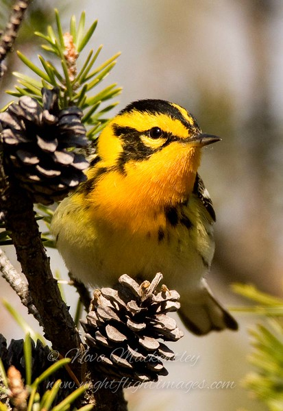 "Blackburnian Warbler with pinecones © 2009 Nova Mackentley Whitefish Point, MI BBP  <div class=""ss-paypal-button""><div class=""ss-paypal-add-to-cart-section""><div class=""ss-paypal-product-options""><h4>Mat Sizes</h4><ul><li><a href=""https://www.paypal.com/cgi-bin/webscr?cmd=_cart&business=T77V5VKCW4K2U&lc=US&item_name=Blackburnian%20Warbler%20with%20pinecones%20%C2%A9%202009%20Nova%20Mackentley%20Whitefish%20Point%2C%20MI%20BBP&item_number=http%3A%2F%2Fwww.nightflightimages.com%2FGalleries-1%2FWarbler%2Fi-3gDzjWX&button_subtype=products&no_note=0&cn=Add%20special%20instructions%20to%20the%20seller%3A&no_shipping=2&currency_code=USD&weight_unit=lbs&add=1&bn=PP-ShopCartBF%3Abtn_cart_SM.gif%3ANonHosted&on0=Mat%20Sizes&option_select0=5%20x%207&option_amount0=10.00&option_select1=8%20x%2010&option_amount1=18.00&option_select2=11%20x%2014&option_amount2=28.00&option_select3=card&option_amount3=4.00&option_index=0&charset=utf-8&submit=&os0=5%20x%207"" target=""paypal""><span>5 x 7 $11.00 USD</span><img src=""https://www.paypalobjects.com/en_US/i/btn/btn_cart_SM.gif""></a></li><li><a href=""https://www.paypal.com/cgi-bin/webscr?cmd=_cart&business=T77V5VKCW4K2U&lc=US&item_name=Blackburnian%20Warbler%20with%20pinecones%20%C2%A9%202009%20Nova%20Mackentley%20Whitefish%20Point%2C%20MI%20BBP&item_number=http%3A%2F%2Fwww.nightflightimages.com%2FGalleries-1%2FWarbler%2Fi-3gDzjWX&button_subtype=products&no_note=0&cn=Add%20special%20instructions%20to%20the%20seller%3A&no_shipping=2&currency_code=USD&weight_unit=lbs&add=1&bn=PP-ShopCartBF%3Abtn_cart_SM.gif%3ANonHosted&on0=Mat%20Sizes&option_select0=5%20x%207&option_amount0=10.00&option_select1=8%20x%2010&option_amount1=18.00&option_select2=11%20x%2014&option_amount2=28.00&option_select3=card&option_amount3=4.00&option_index=0&charset=utf-8&submit=&os0=8%20x%2010"" target=""paypal""><span>8 x 10 $19.00 USD</span><img src=""https://www.paypalobjects.com/en_US/i/btn/btn_cart_SM.gif""></a></li><li><a href=""https://www.paypal.com/cgi-bin/webscr?cmd=_cart&business=T77V5VKCW4K2U&lc=US&item_name=Blackburnian%20Warbler%20with%20pinecones%20%C2%A9%202009%20Nova%20Mackentley%20Whitefish%20Point%2C%20MI%20BBP&item_number=http%3A%2F%2Fwww.nightflightimages.com%2FGalleries-1%2FWarbler%2Fi-3gDzjWX&button_subtype=products&no_note=0&cn=Add%20special%20instructions%20to%20the%20seller%3A&no_shipping=2&currency_code=USD&weight_unit=lbs&add=1&bn=PP-ShopCartBF%3Abtn_cart_SM.gif%3ANonHosted&on0=Mat%20Sizes&option_select0=5%20x%207&option_amount0=10.00&option_select1=8%20x%2010&option_amount1=18.00&option_select2=11%20x%2014&option_amount2=28.00&option_select3=card&option_amount3=4.00&option_index=0&charset=utf-8&submit=&os0=11%20x%2014"" target=""paypal""><span>11 x 14 $29.00 USD</span><img src=""https://www.paypalobjects.com/en_US/i/btn/btn_cart_SM.gif""></a></li><li><a href=""https://www.paypal.com/cgi-bin/webscr?cmd=_cart&business=T77V5VKCW4K2U&lc=US&item_name=Blackburnian%20Warbler%20with%20pinecones%20%C2%A9%202009%20Nova%20Mackentley%20Whitefish%20Point%2C%20MI%20BBP&item_number=http%3A%2F%2Fwww.nightflightimages.com%2FGalleries-1%2FWarbler%2Fi-3gDzjWX&button_subtype=products&no_note=0&cn=Add%20special%20instructions%20to%20the%20seller%3A&no_shipping=2&currency_code=USD&weight_unit=lbs&add=1&bn=PP-ShopCartBF%3Abtn_cart_SM.gif%3ANonHosted&on0=Mat%20Sizes&option_select0=5%20x%207&option_amount0=10.00&option_select1=8%20x%2010&option_amount1=18.00&option_select2=11%20x%2014&option_amount2=28.00&option_select3=card&option_amount3=4.00&option_index=0&charset=utf-8&submit=&os0=card"" target=""paypal""><span>card $5.00 USD</span><img src=""https://www.paypalobjects.com/en_US/i/btn/btn_cart_SM.gif""></a></li></ul></div></div> <div class=""ss-paypal-view-cart-section""><a href=""https://www.paypal.com/cgi-bin/webscr?cmd=_cart&business=T77V5VKCW4K2U&display=1&item_name=Blackburnian%20Warbler%20with%20pinecones%20%C2%A9%202009%20Nova%20Mackentley%20Whitefish%20Point%2C%20MI%20BBP&item_number=http%3A%2F%2Fwww.nightflightimages.com%2FGalleries-1%2FWarbler%2Fi-3gDzjWX&charset=utf-8&submit="" target=""paypal"" class=""ss-paypal-submit-button""><img src=""https://www.paypalobjects.com/en_US/i/btn/btn_viewcart_LG.gif""></a></div></div><div class=""ss-paypal-button-end""></div>"