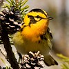 """Blackburnian Warbler with pinecones © 2009 Nova Mackentley Whitefish Point, MI BBP  <div class=""""ss-paypal-button""""><div class=""""ss-paypal-add-to-cart-section""""><div class=""""ss-paypal-product-options""""><h4>Mat Sizes</h4><ul><li><a href=""""https://www.paypal.com/cgi-bin/webscr?cmd=_cart&amp;business=T77V5VKCW4K2U&amp;lc=US&amp;item_name=Blackburnian%20Warbler%20with%20pinecones%20%C2%A9%202009%20Nova%20Mackentley%20Whitefish%20Point%2C%20MI%20BBP&amp;item_number=http%3A%2F%2Fwww.nightflightimages.com%2FGalleries-1%2FWarbler%2Fi-3gDzjWX&amp;button_subtype=products&amp;no_note=0&amp;cn=Add%20special%20instructions%20to%20the%20seller%3A&amp;no_shipping=2&amp;currency_code=USD&amp;weight_unit=lbs&amp;add=1&amp;bn=PP-ShopCartBF%3Abtn_cart_SM.gif%3ANonHosted&amp;on0=Mat%20Sizes&amp;option_select0=5%20x%207&amp;option_amount0=10.00&amp;option_select1=8%20x%2010&amp;option_amount1=18.00&amp;option_select2=11%20x%2014&amp;option_amount2=28.00&amp;option_select3=card&amp;option_amount3=4.00&amp;option_index=0&amp;charset=utf-8&amp;submit=&amp;os0=5%20x%207"""" target=""""paypal""""><span>5 x 7 $11.00 USD</span><img src=""""https://www.paypalobjects.com/en_US/i/btn/btn_cart_SM.gif""""></a></li><li><a href=""""https://www.paypal.com/cgi-bin/webscr?cmd=_cart&amp;business=T77V5VKCW4K2U&amp;lc=US&amp;item_name=Blackburnian%20Warbler%20with%20pinecones%20%C2%A9%202009%20Nova%20Mackentley%20Whitefish%20Point%2C%20MI%20BBP&amp;item_number=http%3A%2F%2Fwww.nightflightimages.com%2FGalleries-1%2FWarbler%2Fi-3gDzjWX&amp;button_subtype=products&amp;no_note=0&amp;cn=Add%20special%20instructions%20to%20the%20seller%3A&amp;no_shipping=2&amp;currency_code=USD&amp;weight_unit=lbs&amp;add=1&amp;bn=PP-ShopCartBF%3Abtn_cart_SM.gif%3ANonHosted&amp;on0=Mat%20Sizes&amp;option_select0=5%20x%207&amp;option_amount0=10.00&amp;option_select1=8%20x%2010&amp;option_amount1=18.00&amp;option_select2=11%20x%2014&amp;option_amount2=28.00&amp;option_select3=card&amp;option_amount3=4.00&amp;option_index=0&amp;charset=utf-8&amp;submit=&am"""