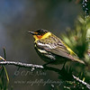"""Cape May Warbler © 2004 C. M. Neri.  Whitefish Point, MI CMWA04  <div class=""""ss-paypal-button""""><div class=""""ss-paypal-add-to-cart-section""""><div class=""""ss-paypal-product-options""""><h4>Mat Sizes</h4><ul><li><a href=""""https://www.paypal.com/cgi-bin/webscr?cmd=_cart&amp;business=T77V5VKCW4K2U&amp;lc=US&amp;item_name=Cape%20May%20Warbler%20%C2%A9%202004%20C.%20M.%20Neri.%20%20Whitefish%20Point%2C%20MI%20CMWA04&amp;item_number=http%3A%2F%2Fwww.nightflightimages.com%2FGalleries-1%2FWarbler%2Fi-6Q9n7Mh&amp;button_subtype=products&amp;no_note=0&amp;cn=Add%20special%20instructions%20to%20the%20seller%3A&amp;no_shipping=2&amp;currency_code=USD&amp;weight_unit=lbs&amp;add=1&amp;bn=PP-ShopCartBF%3Abtn_cart_SM.gif%3ANonHosted&amp;on0=Mat%20Sizes&amp;option_select0=5%20x%207&amp;option_amount0=10.00&amp;option_select1=8%20x%2010&amp;option_amount1=18.00&amp;option_select2=11%20x%2014&amp;option_amount2=28.00&amp;option_select3=card&amp;option_amount3=4.00&amp;option_index=0&amp;charset=utf-8&amp;submit=&amp;os0=5%20x%207"""" target=""""paypal""""><span>5 x 7 $11.00 USD</span><img src=""""https://www.paypalobjects.com/en_US/i/btn/btn_cart_SM.gif""""></a></li><li><a href=""""https://www.paypal.com/cgi-bin/webscr?cmd=_cart&amp;business=T77V5VKCW4K2U&amp;lc=US&amp;item_name=Cape%20May%20Warbler%20%C2%A9%202004%20C.%20M.%20Neri.%20%20Whitefish%20Point%2C%20MI%20CMWA04&amp;item_number=http%3A%2F%2Fwww.nightflightimages.com%2FGalleries-1%2FWarbler%2Fi-6Q9n7Mh&amp;button_subtype=products&amp;no_note=0&amp;cn=Add%20special%20instructions%20to%20the%20seller%3A&amp;no_shipping=2&amp;currency_code=USD&amp;weight_unit=lbs&amp;add=1&amp;bn=PP-ShopCartBF%3Abtn_cart_SM.gif%3ANonHosted&amp;on0=Mat%20Sizes&amp;option_select0=5%20x%207&amp;option_amount0=10.00&amp;option_select1=8%20x%2010&amp;option_amount1=18.00&amp;option_select2=11%20x%2014&amp;option_amount2=28.00&amp;option_select3=card&amp;option_amount3=4.00&amp;option_index=0&amp;charset=utf-8&amp;submit=&amp;os0=8%20x%2010"""" target=""""paypal""""><span>8 x 10 $19.00"""