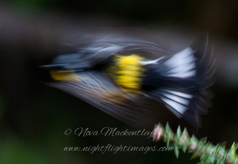 "Magnolia Warbler in flight © 2011 Nova Mackentley Whitefish Point, MI MWW  <div class=""ss-paypal-button""><div class=""ss-paypal-add-to-cart-section""><div class=""ss-paypal-product-options""><h4>Mat Sizes</h4><ul><li><a href=""https://www.paypal.com/cgi-bin/webscr?cmd=_cart&amp;business=T77V5VKCW4K2U&amp;lc=US&amp;item_name=Magnolia%20Warbler%20in%20flight%20%C2%A9%202011%20Nova%20Mackentley%20Whitefish%20Point%2C%20MI%20MWW&amp;item_number=http%3A%2F%2Fwww.nightflightimages.com%2FGalleries-1%2FWarbler%2Fi-BrtTFGp&amp;button_subtype=products&amp;no_note=0&amp;cn=Add%20special%20instructions%20to%20the%20seller%3A&amp;no_shipping=2&amp;currency_code=USD&amp;weight_unit=lbs&amp;add=1&amp;bn=PP-ShopCartBF%3Abtn_cart_SM.gif%3ANonHosted&amp;on0=Mat%20Sizes&amp;option_select0=5%20x%207&amp;option_amount0=10.00&amp;option_select1=8%20x%2010&amp;option_amount1=18.00&amp;option_select2=11%20x%2014&amp;option_amount2=28.00&amp;option_select3=card&amp;option_amount3=4.00&amp;option_index=0&amp;charset=utf-8&amp;submit=&amp;os0=5%20x%207"" target=""paypal""><span>5 x 7 $11.00 USD</span><img src=""https://www.paypalobjects.com/en_US/i/btn/btn_cart_SM.gif""></a></li><li><a href=""https://www.paypal.com/cgi-bin/webscr?cmd=_cart&amp;business=T77V5VKCW4K2U&amp;lc=US&amp;item_name=Magnolia%20Warbler%20in%20flight%20%C2%A9%202011%20Nova%20Mackentley%20Whitefish%20Point%2C%20MI%20MWW&amp;item_number=http%3A%2F%2Fwww.nightflightimages.com%2FGalleries-1%2FWarbler%2Fi-BrtTFGp&amp;button_subtype=products&amp;no_note=0&amp;cn=Add%20special%20instructions%20to%20the%20seller%3A&amp;no_shipping=2&amp;currency_code=USD&amp;weight_unit=lbs&amp;add=1&amp;bn=PP-ShopCartBF%3Abtn_cart_SM.gif%3ANonHosted&amp;on0=Mat%20Sizes&amp;option_select0=5%20x%207&amp;option_amount0=10.00&amp;option_select1=8%20x%2010&amp;option_amount1=18.00&amp;option_select2=11%20x%2014&amp;option_amount2=28.00&amp;option_select3=card&amp;option_amount3=4.00&amp;option_index=0&amp;charset=utf-8&amp;submit=&amp;os0=8%20x%2010"" target=""paypal""><span>8 x 10 $19.00 USD</span><img src=""https://www.paypalobjects.com/en_US/i/btn/btn_cart_SM.gif""></a></li><li><a href=""https://www.paypal.com/cgi-bin/webscr?cmd=_cart&amp;business=T77V5VKCW4K2U&amp;lc=US&amp;item_name=Magnolia%20Warbler%20in%20flight%20%C2%A9%202011%20Nova%20Mackentley%20Whitefish%20Point%2C%20MI%20MWW&amp;item_number=http%3A%2F%2Fwww.nightflightimages.com%2FGalleries-1%2FWarbler%2Fi-BrtTFGp&amp;button_subtype=products&amp;no_note=0&amp;cn=Add%20special%20instructions%20to%20the%20seller%3A&amp;no_shipping=2&amp;currency_code=USD&amp;weight_unit=lbs&amp;add=1&amp;bn=PP-ShopCartBF%3Abtn_cart_SM.gif%3ANonHosted&amp;on0=Mat%20Sizes&amp;option_select0=5%20x%207&amp;option_amount0=10.00&amp;option_select1=8%20x%2010&amp;option_amount1=18.00&amp;option_select2=11%20x%2014&amp;option_amount2=28.00&amp;option_select3=card&amp;option_amount3=4.00&amp;option_index=0&amp;charset=utf-8&amp;submit=&amp;os0=11%20x%2014"" target=""paypal""><span>11 x 14 $29.00 USD</span><img src=""https://www.paypalobjects.com/en_US/i/btn/btn_cart_SM.gif""></a></li><li><a href=""https://www.paypal.com/cgi-bin/webscr?cmd=_cart&amp;business=T77V5VKCW4K2U&amp;lc=US&amp;item_name=Magnolia%20Warbler%20in%20flight%20%C2%A9%202011%20Nova%20Mackentley%20Whitefish%20Point%2C%20MI%20MWW&amp;item_number=http%3A%2F%2Fwww.nightflightimages.com%2FGalleries-1%2FWarbler%2Fi-BrtTFGp&amp;button_subtype=products&amp;no_note=0&amp;cn=Add%20special%20instructions%20to%20the%20seller%3A&amp;no_shipping=2&amp;currency_code=USD&amp;weight_unit=lbs&amp;add=1&amp;bn=PP-ShopCartBF%3Abtn_cart_SM.gif%3ANonHosted&amp;on0=Mat%20Sizes&amp;option_select0=5%20x%207&amp;option_amount0=10.00&amp;option_select1=8%20x%2010&amp;option_amount1=18.00&amp;option_select2=11%20x%2014&amp;option_amount2=28.00&amp;option_select3=card&amp;option_amount3=4.00&amp;option_index=0&amp;charset=utf-8&amp;submit=&amp;os0=card"" target=""paypal""><span>card $5.00 USD</span><img src=""https://www.paypalobjects.com/en_US/i/btn/btn_cart_SM.gif""></a></li></ul></div></div> <div class=""ss-paypal-view-cart-section""><a href=""https://www.paypal.com/cgi-bin/webscr?cmd=_cart&amp;business=T77V5VKCW4K2U&amp;display=1&amp;item_name=Magnolia%20Warbler%20in%20flight%20%C2%A9%202011%20Nova%20Mackentley%20Whitefish%20Point%2C%20MI%20MWW&amp;item_number=http%3A%2F%2Fwww.nightflightimages.com%2FGalleries-1%2FWarbler%2Fi-BrtTFGp&amp;charset=utf-8&amp;submit="" target=""paypal"" class=""ss-paypal-submit-button""><img src=""https://www.paypalobjects.com/en_US/i/btn/btn_viewcart_LG.gif""></a></div></div><div class=""ss-paypal-button-end""></div>"