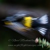 """Magnolia Warbler in flight © 2011 Nova Mackentley Whitefish Point, MI MWW  <div class=""""ss-paypal-button""""><div class=""""ss-paypal-add-to-cart-section""""><div class=""""ss-paypal-product-options""""><h4>Mat Sizes</h4><ul><li><a href=""""https://www.paypal.com/cgi-bin/webscr?cmd=_cart&amp;business=T77V5VKCW4K2U&amp;lc=US&amp;item_name=Magnolia%20Warbler%20in%20flight%20%C2%A9%202011%20Nova%20Mackentley%20Whitefish%20Point%2C%20MI%20MWW&amp;item_number=http%3A%2F%2Fwww.nightflightimages.com%2FGalleries-1%2FWarbler%2Fi-BrtTFGp&amp;button_subtype=products&amp;no_note=0&amp;cn=Add%20special%20instructions%20to%20the%20seller%3A&amp;no_shipping=2&amp;currency_code=USD&amp;weight_unit=lbs&amp;add=1&amp;bn=PP-ShopCartBF%3Abtn_cart_SM.gif%3ANonHosted&amp;on0=Mat%20Sizes&amp;option_select0=5%20x%207&amp;option_amount0=10.00&amp;option_select1=8%20x%2010&amp;option_amount1=18.00&amp;option_select2=11%20x%2014&amp;option_amount2=28.00&amp;option_select3=card&amp;option_amount3=4.00&amp;option_index=0&amp;charset=utf-8&amp;submit=&amp;os0=5%20x%207"""" target=""""paypal""""><span>5 x 7 $11.00 USD</span><img src=""""https://www.paypalobjects.com/en_US/i/btn/btn_cart_SM.gif""""></a></li><li><a href=""""https://www.paypal.com/cgi-bin/webscr?cmd=_cart&amp;business=T77V5VKCW4K2U&amp;lc=US&amp;item_name=Magnolia%20Warbler%20in%20flight%20%C2%A9%202011%20Nova%20Mackentley%20Whitefish%20Point%2C%20MI%20MWW&amp;item_number=http%3A%2F%2Fwww.nightflightimages.com%2FGalleries-1%2FWarbler%2Fi-BrtTFGp&amp;button_subtype=products&amp;no_note=0&amp;cn=Add%20special%20instructions%20to%20the%20seller%3A&amp;no_shipping=2&amp;currency_code=USD&amp;weight_unit=lbs&amp;add=1&amp;bn=PP-ShopCartBF%3Abtn_cart_SM.gif%3ANonHosted&amp;on0=Mat%20Sizes&amp;option_select0=5%20x%207&amp;option_amount0=10.00&amp;option_select1=8%20x%2010&amp;option_amount1=18.00&amp;option_select2=11%20x%2014&amp;option_amount2=28.00&amp;option_select3=card&amp;option_amount3=4.00&amp;option_index=0&amp;charset=utf-8&amp;submit=&amp;os0=8%20x%2010"""" target=""""p"""