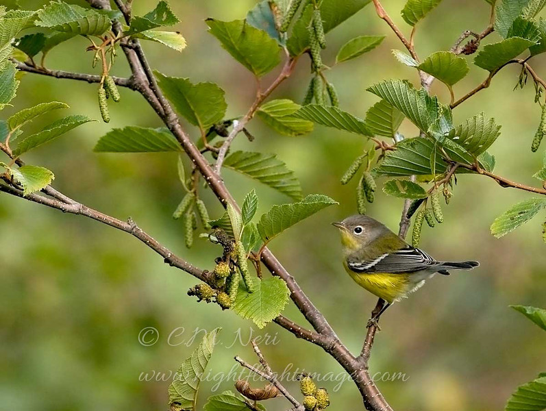 "Magnolia Warbler © 2008 C. M. Neri Whitefish Point, MI MAWA08  <div class=""ss-paypal-button""><div class=""ss-paypal-add-to-cart-section""><div class=""ss-paypal-product-options""><h4>Mat Sizes</h4><ul><li><a href=""https://www.paypal.com/cgi-bin/webscr?cmd=_cart&amp;business=T77V5VKCW4K2U&amp;lc=US&amp;item_name=Magnolia%20Warbler%20%C2%A9%202008%20C.%20M.%20Neri%20Whitefish%20Point%2C%20MI%20MAWA08&amp;item_number=http%3A%2F%2Fwww.nightflightimages.com%2FGalleries-1%2FWarbler%2Fi-JT2FgkJ&amp;button_subtype=products&amp;no_note=0&amp;cn=Add%20special%20instructions%20to%20the%20seller%3A&amp;no_shipping=2&amp;currency_code=USD&amp;weight_unit=lbs&amp;add=1&amp;bn=PP-ShopCartBF%3Abtn_cart_SM.gif%3ANonHosted&amp;on0=Mat%20Sizes&amp;option_select0=5%20x%207&amp;option_amount0=10.00&amp;option_select1=8%20x%2010&amp;option_amount1=18.00&amp;option_select2=11%20x%2014&amp;option_amount2=28.00&amp;option_select3=card&amp;option_amount3=4.00&amp;option_index=0&amp;charset=utf-8&amp;submit=&amp;os0=5%20x%207"" target=""paypal""><span>5 x 7 $11.00 USD</span><img src=""https://www.paypalobjects.com/en_US/i/btn/btn_cart_SM.gif""></a></li><li><a href=""https://www.paypal.com/cgi-bin/webscr?cmd=_cart&amp;business=T77V5VKCW4K2U&amp;lc=US&amp;item_name=Magnolia%20Warbler%20%C2%A9%202008%20C.%20M.%20Neri%20Whitefish%20Point%2C%20MI%20MAWA08&amp;item_number=http%3A%2F%2Fwww.nightflightimages.com%2FGalleries-1%2FWarbler%2Fi-JT2FgkJ&amp;button_subtype=products&amp;no_note=0&amp;cn=Add%20special%20instructions%20to%20the%20seller%3A&amp;no_shipping=2&amp;currency_code=USD&amp;weight_unit=lbs&amp;add=1&amp;bn=PP-ShopCartBF%3Abtn_cart_SM.gif%3ANonHosted&amp;on0=Mat%20Sizes&amp;option_select0=5%20x%207&amp;option_amount0=10.00&amp;option_select1=8%20x%2010&amp;option_amount1=18.00&amp;option_select2=11%20x%2014&amp;option_amount2=28.00&amp;option_select3=card&amp;option_amount3=4.00&amp;option_index=0&amp;charset=utf-8&amp;submit=&amp;os0=8%20x%2010"" target=""paypal""><span>8 x 10 $19.00 USD</span><img src=""https://www.paypalobjects.com/en_US/i/btn/btn_cart_SM.gif""></a></li><li><a href=""https://www.paypal.com/cgi-bin/webscr?cmd=_cart&amp;business=T77V5VKCW4K2U&amp;lc=US&amp;item_name=Magnolia%20Warbler%20%C2%A9%202008%20C.%20M.%20Neri%20Whitefish%20Point%2C%20MI%20MAWA08&amp;item_number=http%3A%2F%2Fwww.nightflightimages.com%2FGalleries-1%2FWarbler%2Fi-JT2FgkJ&amp;button_subtype=products&amp;no_note=0&amp;cn=Add%20special%20instructions%20to%20the%20seller%3A&amp;no_shipping=2&amp;currency_code=USD&amp;weight_unit=lbs&amp;add=1&amp;bn=PP-ShopCartBF%3Abtn_cart_SM.gif%3ANonHosted&amp;on0=Mat%20Sizes&amp;option_select0=5%20x%207&amp;option_amount0=10.00&amp;option_select1=8%20x%2010&amp;option_amount1=18.00&amp;option_select2=11%20x%2014&amp;option_amount2=28.00&amp;option_select3=card&amp;option_amount3=4.00&amp;option_index=0&amp;charset=utf-8&amp;submit=&amp;os0=11%20x%2014"" target=""paypal""><span>11 x 14 $29.00 USD</span><img src=""https://www.paypalobjects.com/en_US/i/btn/btn_cart_SM.gif""></a></li><li><a href=""https://www.paypal.com/cgi-bin/webscr?cmd=_cart&amp;business=T77V5VKCW4K2U&amp;lc=US&amp;item_name=Magnolia%20Warbler%20%C2%A9%202008%20C.%20M.%20Neri%20Whitefish%20Point%2C%20MI%20MAWA08&amp;item_number=http%3A%2F%2Fwww.nightflightimages.com%2FGalleries-1%2FWarbler%2Fi-JT2FgkJ&amp;button_subtype=products&amp;no_note=0&amp;cn=Add%20special%20instructions%20to%20the%20seller%3A&amp;no_shipping=2&amp;currency_code=USD&amp;weight_unit=lbs&amp;add=1&amp;bn=PP-ShopCartBF%3Abtn_cart_SM.gif%3ANonHosted&amp;on0=Mat%20Sizes&amp;option_select0=5%20x%207&amp;option_amount0=10.00&amp;option_select1=8%20x%2010&amp;option_amount1=18.00&amp;option_select2=11%20x%2014&amp;option_amount2=28.00&amp;option_select3=card&amp;option_amount3=4.00&amp;option_index=0&amp;charset=utf-8&amp;submit=&amp;os0=card"" target=""paypal""><span>card $5.00 USD</span><img src=""https://www.paypalobjects.com/en_US/i/btn/btn_cart_SM.gif""></a></li></ul></div></div> <div class=""ss-paypal-view-cart-section""><a href=""https://www.paypal.com/cgi-bin/webscr?cmd=_cart&amp;business=T77V5VKCW4K2U&amp;display=1&amp;item_name=Magnolia%20Warbler%20%C2%A9%202008%20C.%20M.%20Neri%20Whitefish%20Point%2C%20MI%20MAWA08&amp;item_number=http%3A%2F%2Fwww.nightflightimages.com%2FGalleries-1%2FWarbler%2Fi-JT2FgkJ&amp;charset=utf-8&amp;submit="" target=""paypal"" class=""ss-paypal-submit-button""><img src=""https://www.paypalobjects.com/en_US/i/btn/btn_viewcart_LG.gif""></a></div></div><div class=""ss-paypal-button-end""></div>"