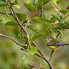 """Magnolia Warbler © 2008 C. M. Neri Whitefish Point, MI MAWA08  <div class=""""ss-paypal-button""""><div class=""""ss-paypal-add-to-cart-section""""><div class=""""ss-paypal-product-options""""><h4>Mat Sizes</h4><ul><li><a href=""""https://www.paypal.com/cgi-bin/webscr?cmd=_cart&amp;business=T77V5VKCW4K2U&amp;lc=US&amp;item_name=Magnolia%20Warbler%20%C2%A9%202008%20C.%20M.%20Neri%20Whitefish%20Point%2C%20MI%20MAWA08&amp;item_number=http%3A%2F%2Fwww.nightflightimages.com%2FGalleries-1%2FWarbler%2Fi-JT2FgkJ&amp;button_subtype=products&amp;no_note=0&amp;cn=Add%20special%20instructions%20to%20the%20seller%3A&amp;no_shipping=2&amp;currency_code=USD&amp;weight_unit=lbs&amp;add=1&amp;bn=PP-ShopCartBF%3Abtn_cart_SM.gif%3ANonHosted&amp;on0=Mat%20Sizes&amp;option_select0=5%20x%207&amp;option_amount0=10.00&amp;option_select1=8%20x%2010&amp;option_amount1=18.00&amp;option_select2=11%20x%2014&amp;option_amount2=28.00&amp;option_select3=card&amp;option_amount3=4.00&amp;option_index=0&amp;charset=utf-8&amp;submit=&amp;os0=5%20x%207"""" target=""""paypal""""><span>5 x 7 $11.00 USD</span><img src=""""https://www.paypalobjects.com/en_US/i/btn/btn_cart_SM.gif""""></a></li><li><a href=""""https://www.paypal.com/cgi-bin/webscr?cmd=_cart&amp;business=T77V5VKCW4K2U&amp;lc=US&amp;item_name=Magnolia%20Warbler%20%C2%A9%202008%20C.%20M.%20Neri%20Whitefish%20Point%2C%20MI%20MAWA08&amp;item_number=http%3A%2F%2Fwww.nightflightimages.com%2FGalleries-1%2FWarbler%2Fi-JT2FgkJ&amp;button_subtype=products&amp;no_note=0&amp;cn=Add%20special%20instructions%20to%20the%20seller%3A&amp;no_shipping=2&amp;currency_code=USD&amp;weight_unit=lbs&amp;add=1&amp;bn=PP-ShopCartBF%3Abtn_cart_SM.gif%3ANonHosted&amp;on0=Mat%20Sizes&amp;option_select0=5%20x%207&amp;option_amount0=10.00&amp;option_select1=8%20x%2010&amp;option_amount1=18.00&amp;option_select2=11%20x%2014&amp;option_amount2=28.00&amp;option_select3=card&amp;option_amount3=4.00&amp;option_index=0&amp;charset=utf-8&amp;submit=&amp;os0=8%20x%2010"""" target=""""paypal""""><span>8 x 10 $19.00 USD</span><im"""