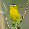 "Wilson's Warbler © 2016 Nova Mackentley Rocky Mtn NP, CO WWA  <div class=""ss-paypal-button""><div class=""ss-paypal-add-to-cart-section""><div class=""ss-paypal-product-options""><h4>Mat Sizes</h4><ul><li><a href=""https://www.paypal.com/cgi-bin/webscr?cmd=_cart&amp;business=T77V5VKCW4K2U&amp;lc=US&amp;item_name=Wilson's%20Warbler%20%C2%A9%202016%20Nova%20Mackentley%20Rocky%20Mtn%20NP%2C%20CO%20WWA&amp;item_number=http%3A%2F%2Fwww.nightflightimages.com%2FGalleries-1%2FWarbler%2Fi-LkbPhF4&amp;button_subtype=products&amp;no_note=0&amp;cn=Add%20special%20instructions%20to%20the%20seller%3A&amp;no_shipping=2&amp;currency_code=USD&amp;weight_unit=lbs&amp;add=1&amp;bn=PP-ShopCartBF%3Abtn_cart_SM.gif%3ANonHosted&amp;on0=Mat%20Sizes&amp;option_select0=5%20x%207&amp;option_amount0=10.00&amp;option_select1=8%20x%2010&amp;option_amount1=18.00&amp;option_select2=11%20x%2014&amp;option_amount2=28.00&amp;option_select3=card&amp;option_amount3=4.00&amp;option_index=0&amp;charset=utf-8&amp;submit=&amp;os0=5%20x%207"" target=""paypal""><span>5 x 7 $11.00 USD</span><img src=""https://www.paypalobjects.com/en_US/i/btn/btn_cart_SM.gif""></a></li><li><a href=""https://www.paypal.com/cgi-bin/webscr?cmd=_cart&amp;business=T77V5VKCW4K2U&amp;lc=US&amp;item_name=Wilson's%20Warbler%20%C2%A9%202016%20Nova%20Mackentley%20Rocky%20Mtn%20NP%2C%20CO%20WWA&amp;item_number=http%3A%2F%2Fwww.nightflightimages.com%2FGalleries-1%2FWarbler%2Fi-LkbPhF4&amp;button_subtype=products&amp;no_note=0&amp;cn=Add%20special%20instructions%20to%20the%20seller%3A&amp;no_shipping=2&amp;currency_code=USD&amp;weight_unit=lbs&amp;add=1&amp;bn=PP-ShopCartBF%3Abtn_cart_SM.gif%3ANonHosted&amp;on0=Mat%20Sizes&amp;option_select0=5%20x%207&amp;option_amount0=10.00&amp;option_select1=8%20x%2010&amp;option_amount1=18.00&amp;option_select2=11%20x%2014&amp;option_amount2=28.00&amp;option_select3=card&amp;option_amount3=4.00&amp;option_index=0&amp;charset=utf-8&amp;submit=&amp;os0=8%20x%2010"" target=""paypal""><span>8 x 10 $19.00 USD</span><img src=""https://www.paypalobjects.com/en_US/i/btn/btn_cart_SM.gif""></a></li><li><a href=""https://www.paypal.com/cgi-bin/webscr?cmd=_cart&amp;business=T77V5VKCW4K2U&amp;lc=US&amp;item_name=Wilson's%20Warbler%20%C2%A9%202016%20Nova%20Mackentley%20Rocky%20Mtn%20NP%2C%20CO%20WWA&amp;item_number=http%3A%2F%2Fwww.nightflightimages.com%2FGalleries-1%2FWarbler%2Fi-LkbPhF4&amp;button_subtype=products&amp;no_note=0&amp;cn=Add%20special%20instructions%20to%20the%20seller%3A&amp;no_shipping=2&amp;currency_code=USD&amp;weight_unit=lbs&amp;add=1&amp;bn=PP-ShopCartBF%3Abtn_cart_SM.gif%3ANonHosted&amp;on0=Mat%20Sizes&amp;option_select0=5%20x%207&amp;option_amount0=10.00&amp;option_select1=8%20x%2010&amp;option_amount1=18.00&amp;option_select2=11%20x%2014&amp;option_amount2=28.00&amp;option_select3=card&amp;option_amount3=4.00&amp;option_index=0&amp;charset=utf-8&amp;submit=&amp;os0=11%20x%2014"" target=""paypal""><span>11 x 14 $29.00 USD</span><img src=""https://www.paypalobjects.com/en_US/i/btn/btn_cart_SM.gif""></a></li><li><a href=""https://www.paypal.com/cgi-bin/webscr?cmd=_cart&amp;business=T77V5VKCW4K2U&amp;lc=US&amp;item_name=Wilson's%20Warbler%20%C2%A9%202016%20Nova%20Mackentley%20Rocky%20Mtn%20NP%2C%20CO%20WWA&amp;item_number=http%3A%2F%2Fwww.nightflightimages.com%2FGalleries-1%2FWarbler%2Fi-LkbPhF4&amp;button_subtype=products&amp;no_note=0&amp;cn=Add%20special%20instructions%20to%20the%20seller%3A&amp;no_shipping=2&amp;currency_code=USD&amp;weight_unit=lbs&amp;add=1&amp;bn=PP-ShopCartBF%3Abtn_cart_SM.gif%3ANonHosted&amp;on0=Mat%20Sizes&amp;option_select0=5%20x%207&amp;option_amount0=10.00&amp;option_select1=8%20x%2010&amp;option_amount1=18.00&amp;option_select2=11%20x%2014&amp;option_amount2=28.00&amp;option_select3=card&amp;option_amount3=4.00&amp;option_index=0&amp;charset=utf-8&amp;submit=&amp;os0=card"" target=""paypal""><span>card $5.00 USD</span><img src=""https://www.paypalobjects.com/en_US/i/btn/btn_cart_SM.gif""></a></li></ul></div></div> <div class=""ss-paypal-view-cart-section""><a href=""https://www.paypal.com/cgi-bin/webscr?cmd=_cart&amp;business=T77V5VKCW4K2U&amp;display=1&amp;item_name=Wilson's%20Warbler%20%C2%A9%202016%20Nova%20Mackentley%20Rocky%20Mtn%20NP%2C%20CO%20WWA&amp;item_number=http%3A%2F%2Fwww.nightflightimages.com%2FGalleries-1%2FWarbler%2Fi-LkbPhF4&amp;charset=utf-8&amp;submit="" target=""paypal"" class=""ss-paypal-submit-button""><img src=""https://www.paypalobjects.com/en_US/i/btn/btn_viewcart_LG.gif""></a></div></div><div class=""ss-paypal-button-end""></div>"