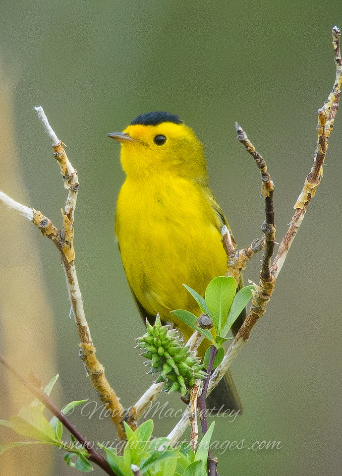 "Wilson's Warbler © 2016 Nova Mackentley Rocky Mtn NP, CO WWA  <div class=""ss-paypal-button""><div class=""ss-paypal-add-to-cart-section""><div class=""ss-paypal-product-options""><h4>Mat Sizes</h4><ul><li><a href=""https://www.paypal.com/cgi-bin/webscr?cmd=_cart&business=T77V5VKCW4K2U&lc=US&item_name=Wilson's%20Warbler%20%C2%A9%202016%20Nova%20Mackentley%20Rocky%20Mtn%20NP%2C%20CO%20WWA&item_number=http%3A%2F%2Fwww.nightflightimages.com%2FGalleries-1%2FWarbler%2Fi-LkbPhF4&button_subtype=products&no_note=0&cn=Add%20special%20instructions%20to%20the%20seller%3A&no_shipping=2&currency_code=USD&weight_unit=lbs&add=1&bn=PP-ShopCartBF%3Abtn_cart_SM.gif%3ANonHosted&on0=Mat%20Sizes&option_select0=5%20x%207&option_amount0=10.00&option_select1=8%20x%2010&option_amount1=18.00&option_select2=11%20x%2014&option_amount2=28.00&option_select3=card&option_amount3=4.00&option_index=0&charset=utf-8&submit=&os0=5%20x%207"" target=""paypal""><span>5 x 7 $11.00 USD</span><img src=""https://www.paypalobjects.com/en_US/i/btn/btn_cart_SM.gif""></a></li><li><a href=""https://www.paypal.com/cgi-bin/webscr?cmd=_cart&business=T77V5VKCW4K2U&lc=US&item_name=Wilson's%20Warbler%20%C2%A9%202016%20Nova%20Mackentley%20Rocky%20Mtn%20NP%2C%20CO%20WWA&item_number=http%3A%2F%2Fwww.nightflightimages.com%2FGalleries-1%2FWarbler%2Fi-LkbPhF4&button_subtype=products&no_note=0&cn=Add%20special%20instructions%20to%20the%20seller%3A&no_shipping=2&currency_code=USD&weight_unit=lbs&add=1&bn=PP-ShopCartBF%3Abtn_cart_SM.gif%3ANonHosted&on0=Mat%20Sizes&option_select0=5%20x%207&option_amount0=10.00&option_select1=8%20x%2010&option_amount1=18.00&option_select2=11%20x%2014&option_amount2=28.00&option_select3=card&option_amount3=4.00&option_index=0&charset=utf-8&submit=&os0=8%20x%2010"" target=""paypal""><span>8 x 10 $19.00 USD</span><img src=""https://www.paypalobjects.com/en_US/i/btn/btn_cart_SM.gif""></a></li><li><a href=""https://www.paypal.com/cgi-bin/webscr?cmd=_cart&business=T77V5VKCW4K2U&lc=US&item_name=Wilson's%20Warbler%20%C2%A9%202016%20Nova%20Mackentley%20Rocky%20Mtn%20NP%2C%20CO%20WWA&item_number=http%3A%2F%2Fwww.nightflightimages.com%2FGalleries-1%2FWarbler%2Fi-LkbPhF4&button_subtype=products&no_note=0&cn=Add%20special%20instructions%20to%20the%20seller%3A&no_shipping=2&currency_code=USD&weight_unit=lbs&add=1&bn=PP-ShopCartBF%3Abtn_cart_SM.gif%3ANonHosted&on0=Mat%20Sizes&option_select0=5%20x%207&option_amount0=10.00&option_select1=8%20x%2010&option_amount1=18.00&option_select2=11%20x%2014&option_amount2=28.00&option_select3=card&option_amount3=4.00&option_index=0&charset=utf-8&submit=&os0=11%20x%2014"" target=""paypal""><span>11 x 14 $29.00 USD</span><img src=""https://www.paypalobjects.com/en_US/i/btn/btn_cart_SM.gif""></a></li><li><a href=""https://www.paypal.com/cgi-bin/webscr?cmd=_cart&business=T77V5VKCW4K2U&lc=US&item_name=Wilson's%20Warbler%20%C2%A9%202016%20Nova%20Mackentley%20Rocky%20Mtn%20NP%2C%20CO%20WWA&item_number=http%3A%2F%2Fwww.nightflightimages.com%2FGalleries-1%2FWarbler%2Fi-LkbPhF4&button_subtype=products&no_note=0&cn=Add%20special%20instructions%20to%20the%20seller%3A&no_shipping=2&currency_code=USD&weight_unit=lbs&add=1&bn=PP-ShopCartBF%3Abtn_cart_SM.gif%3ANonHosted&on0=Mat%20Sizes&option_select0=5%20x%207&option_amount0=10.00&option_select1=8%20x%2010&option_amount1=18.00&option_select2=11%20x%2014&option_amount2=28.00&option_select3=card&option_amount3=4.00&option_index=0&charset=utf-8&submit=&os0=card"" target=""paypal""><span>card $5.00 USD</span><img src=""https://www.paypalobjects.com/en_US/i/btn/btn_cart_SM.gif""></a></li></ul></div></div> <div class=""ss-paypal-view-cart-section""><a href=""https://www.paypal.com/cgi-bin/webscr?cmd=_cart&business=T77V5VKCW4K2U&display=1&item_name=Wilson's%20Warbler%20%C2%A9%202016%20Nova%20Mackentley%20Rocky%20Mtn%20NP%2C%20CO%20WWA&item_number=http%3A%2F%2Fwww.nightflightimages.com%2FGalleries-1%2FWarbler%2Fi-LkbPhF4&charset=utf-8&submit="" target=""paypal"" class=""ss-paypal-submit-button""><img src=""https://www.paypalobjects.com/en_US/i/btn/btn_viewcart_LG.gif""></a></div></div><div class=""ss-paypal-button-end""></div>"
