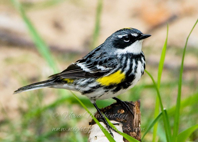 "Yellow-rumped Warbler © 2008 Nova Mackentley Whitefish Point, MI YRW  <div class=""ss-paypal-button""><div class=""ss-paypal-add-to-cart-section""><div class=""ss-paypal-product-options""><h4>Mat Sizes</h4><ul><li><a href=""https://www.paypal.com/cgi-bin/webscr?cmd=_cart&amp;business=T77V5VKCW4K2U&amp;lc=US&amp;item_name=Yellow-rumped%20Warbler%20%C2%A9%202008%20Nova%20Mackentley%20Whitefish%20Point%2C%20MI%20YRW&amp;item_number=http%3A%2F%2Fwww.nightflightimages.com%2FGalleries-1%2FWarbler%2Fi-NrJq2hS&amp;button_subtype=products&amp;no_note=0&amp;cn=Add%20special%20instructions%20to%20the%20seller%3A&amp;no_shipping=2&amp;currency_code=USD&amp;weight_unit=lbs&amp;add=1&amp;bn=PP-ShopCartBF%3Abtn_cart_SM.gif%3ANonHosted&amp;on0=Mat%20Sizes&amp;option_select0=5%20x%207&amp;option_amount0=10.00&amp;option_select1=8%20x%2010&amp;option_amount1=18.00&amp;option_select2=11%20x%2014&amp;option_amount2=28.00&amp;option_select3=card&amp;option_amount3=4.00&amp;option_index=0&amp;charset=utf-8&amp;submit=&amp;os0=5%20x%207"" target=""paypal""><span>5 x 7 $11.00 USD</span><img src=""https://www.paypalobjects.com/en_US/i/btn/btn_cart_SM.gif""></a></li><li><a href=""https://www.paypal.com/cgi-bin/webscr?cmd=_cart&amp;business=T77V5VKCW4K2U&amp;lc=US&amp;item_name=Yellow-rumped%20Warbler%20%C2%A9%202008%20Nova%20Mackentley%20Whitefish%20Point%2C%20MI%20YRW&amp;item_number=http%3A%2F%2Fwww.nightflightimages.com%2FGalleries-1%2FWarbler%2Fi-NrJq2hS&amp;button_subtype=products&amp;no_note=0&amp;cn=Add%20special%20instructions%20to%20the%20seller%3A&amp;no_shipping=2&amp;currency_code=USD&amp;weight_unit=lbs&amp;add=1&amp;bn=PP-ShopCartBF%3Abtn_cart_SM.gif%3ANonHosted&amp;on0=Mat%20Sizes&amp;option_select0=5%20x%207&amp;option_amount0=10.00&amp;option_select1=8%20x%2010&amp;option_amount1=18.00&amp;option_select2=11%20x%2014&amp;option_amount2=28.00&amp;option_select3=card&amp;option_amount3=4.00&amp;option_index=0&amp;charset=utf-8&amp;submit=&amp;os0=8%20x%2010"" target=""paypal""><span>8 x 10 $19.00 USD</span><img src=""https://www.paypalobjects.com/en_US/i/btn/btn_cart_SM.gif""></a></li><li><a href=""https://www.paypal.com/cgi-bin/webscr?cmd=_cart&amp;business=T77V5VKCW4K2U&amp;lc=US&amp;item_name=Yellow-rumped%20Warbler%20%C2%A9%202008%20Nova%20Mackentley%20Whitefish%20Point%2C%20MI%20YRW&amp;item_number=http%3A%2F%2Fwww.nightflightimages.com%2FGalleries-1%2FWarbler%2Fi-NrJq2hS&amp;button_subtype=products&amp;no_note=0&amp;cn=Add%20special%20instructions%20to%20the%20seller%3A&amp;no_shipping=2&amp;currency_code=USD&amp;weight_unit=lbs&amp;add=1&amp;bn=PP-ShopCartBF%3Abtn_cart_SM.gif%3ANonHosted&amp;on0=Mat%20Sizes&amp;option_select0=5%20x%207&amp;option_amount0=10.00&amp;option_select1=8%20x%2010&amp;option_amount1=18.00&amp;option_select2=11%20x%2014&amp;option_amount2=28.00&amp;option_select3=card&amp;option_amount3=4.00&amp;option_index=0&amp;charset=utf-8&amp;submit=&amp;os0=11%20x%2014"" target=""paypal""><span>11 x 14 $29.00 USD</span><img src=""https://www.paypalobjects.com/en_US/i/btn/btn_cart_SM.gif""></a></li><li><a href=""https://www.paypal.com/cgi-bin/webscr?cmd=_cart&amp;business=T77V5VKCW4K2U&amp;lc=US&amp;item_name=Yellow-rumped%20Warbler%20%C2%A9%202008%20Nova%20Mackentley%20Whitefish%20Point%2C%20MI%20YRW&amp;item_number=http%3A%2F%2Fwww.nightflightimages.com%2FGalleries-1%2FWarbler%2Fi-NrJq2hS&amp;button_subtype=products&amp;no_note=0&amp;cn=Add%20special%20instructions%20to%20the%20seller%3A&amp;no_shipping=2&amp;currency_code=USD&amp;weight_unit=lbs&amp;add=1&amp;bn=PP-ShopCartBF%3Abtn_cart_SM.gif%3ANonHosted&amp;on0=Mat%20Sizes&amp;option_select0=5%20x%207&amp;option_amount0=10.00&amp;option_select1=8%20x%2010&amp;option_amount1=18.00&amp;option_select2=11%20x%2014&amp;option_amount2=28.00&amp;option_select3=card&amp;option_amount3=4.00&amp;option_index=0&amp;charset=utf-8&amp;submit=&amp;os0=card"" target=""paypal""><span>card $5.00 USD</span><img src=""https://www.paypalobjects.com/en_US/i/btn/btn_cart_SM.gif""></a></li></ul></div></div> <div class=""ss-paypal-view-cart-section""><a href=""https://www.paypal.com/cgi-bin/webscr?cmd=_cart&amp;business=T77V5VKCW4K2U&amp;display=1&amp;item_name=Yellow-rumped%20Warbler%20%C2%A9%202008%20Nova%20Mackentley%20Whitefish%20Point%2C%20MI%20YRW&amp;item_number=http%3A%2F%2Fwww.nightflightimages.com%2FGalleries-1%2FWarbler%2Fi-NrJq2hS&amp;charset=utf-8&amp;submit="" target=""paypal"" class=""ss-paypal-submit-button""><img src=""https://www.paypalobjects.com/en_US/i/btn/btn_viewcart_LG.gif""></a></div></div><div class=""ss-paypal-button-end""></div>"