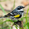 "Yellow-rumped Warbler © 2008 Nova Mackentley Whitefish Point, MI YRW  <div class=""ss-paypal-button""><div class=""ss-paypal-add-to-cart-section""><div class=""ss-paypal-product-options""><h4>Mat Sizes</h4><ul><li><a href=""https://www.paypal.com/cgi-bin/webscr?cmd=_cart&business=T77V5VKCW4K2U&lc=US&item_name=Yellow-rumped%20Warbler%20%C2%A9%202008%20Nova%20Mackentley%20Whitefish%20Point%2C%20MI%20YRW&item_number=http%3A%2F%2Fwww.nightflightimages.com%2FGalleries-1%2FWarbler%2Fi-NrJq2hS&button_subtype=products&no_note=0&cn=Add%20special%20instructions%20to%20the%20seller%3A&no_shipping=2&currency_code=USD&weight_unit=lbs&add=1&bn=PP-ShopCartBF%3Abtn_cart_SM.gif%3ANonHosted&on0=Mat%20Sizes&option_select0=5%20x%207&option_amount0=10.00&option_select1=8%20x%2010&option_amount1=18.00&option_select2=11%20x%2014&option_amount2=28.00&option_select3=card&option_amount3=4.00&option_index=0&charset=utf-8&submit=&os0=5%20x%207"" target=""paypal""><span>5 x 7 $11.00 USD</span><img src=""https://www.paypalobjects.com/en_US/i/btn/btn_cart_SM.gif""></a></li><li><a href=""https://www.paypal.com/cgi-bin/webscr?cmd=_cart&business=T77V5VKCW4K2U&lc=US&item_name=Yellow-rumped%20Warbler%20%C2%A9%202008%20Nova%20Mackentley%20Whitefish%20Point%2C%20MI%20YRW&item_number=http%3A%2F%2Fwww.nightflightimages.com%2FGalleries-1%2FWarbler%2Fi-NrJq2hS&button_subtype=products&no_note=0&cn=Add%20special%20instructions%20to%20the%20seller%3A&no_shipping=2&currency_code=USD&weight_unit=lbs&add=1&bn=PP-ShopCartBF%3Abtn_cart_SM.gif%3ANonHosted&on0=Mat%20Sizes&option_select0=5%20x%207&option_amount0=10.00&option_select1=8%20x%2010&option_amount1=18.00&option_select2=11%20x%2014&option_amount2=28.00&option_select3=card&option_amount3=4.00&option_index=0&charset=utf-8&submit=&os0=8%20x%2010"" target=""paypal""><span>8 x 10 $19.00 USD</span><img src=""https://www.paypalobjects.com/en_US/i/btn/btn_cart_SM.gif""></a></li><li><a href=""https://www.paypal.com/cgi-bin/webscr?cmd=_cart&business=T77V5VKCW4K2U&lc=US&item_name=Yellow-rumped%20Warbler%20%C2%A9%202008%20Nova%20Mackentley%20Whitefish%20Point%2C%20MI%20YRW&item_number=http%3A%2F%2Fwww.nightflightimages.com%2FGalleries-1%2FWarbler%2Fi-NrJq2hS&button_subtype=products&no_note=0&cn=Add%20special%20instructions%20to%20the%20seller%3A&no_shipping=2&currency_code=USD&weight_unit=lbs&add=1&bn=PP-ShopCartBF%3Abtn_cart_SM.gif%3ANonHosted&on0=Mat%20Sizes&option_select0=5%20x%207&option_amount0=10.00&option_select1=8%20x%2010&option_amount1=18.00&option_select2=11%20x%2014&option_amount2=28.00&option_select3=card&option_amount3=4.00&option_index=0&charset=utf-8&submit=&os0=11%20x%2014"" target=""paypal""><span>11 x 14 $29.00 USD</span><img src=""https://www.paypalobjects.com/en_US/i/btn/btn_cart_SM.gif""></a></li><li><a href=""https://www.paypal.com/cgi-bin/webscr?cmd=_cart&business=T77V5VKCW4K2U&lc=US&item_name=Yellow-rumped%20Warbler%20%C2%A9%202008%20Nova%20Mackentley%20Whitefish%20Point%2C%20MI%20YRW&item_number=http%3A%2F%2Fwww.nightflightimages.com%2FGalleries-1%2FWarbler%2Fi-NrJq2hS&button_subtype=products&no_note=0&cn=Add%20special%20instructions%20to%20the%20seller%3A&no_shipping=2&currency_code=USD&weight_unit=lbs&add=1&bn=PP-ShopCartBF%3Abtn_cart_SM.gif%3ANonHosted&on0=Mat%20Sizes&option_select0=5%20x%207&option_amount0=10.00&option_select1=8%20x%2010&option_amount1=18.00&option_select2=11%20x%2014&option_amount2=28.00&option_select3=card&option_amount3=4.00&option_index=0&charset=utf-8&submit=&os0=card"" target=""paypal""><span>card $5.00 USD</span><img src=""https://www.paypalobjects.com/en_US/i/btn/btn_cart_SM.gif""></a></li></ul></div></div> <div class=""ss-paypal-view-cart-section""><a href=""https://www.paypal.com/cgi-bin/webscr?cmd=_cart&business=T77V5VKCW4K2U&display=1&item_name=Yellow-rumped%20Warbler%20%C2%A9%202008%20Nova%20Mackentley%20Whitefish%20Point%2C%20MI%20YRW&item_number=http%3A%2F%2Fwww.nightflightimages.com%2FGalleries-1%2FWarbler%2Fi-NrJq2hS&charset=utf-8&submit="" target=""paypal"" class=""ss-paypal-submit-button""><img src=""https://www.paypalobjects.com/en_US/i/btn/btn_viewcart_LG.gif""></a></div></div><div class=""ss-paypal-button-end""></div>"
