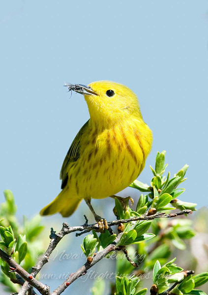"Yellow Warbler with fly © 2008 Nova Mackentley Whitefish Point, MI YEL  <div class=""ss-paypal-button""><div class=""ss-paypal-add-to-cart-section""><div class=""ss-paypal-product-options""><h4>Mat Sizes</h4><ul><li><a href=""https://www.paypal.com/cgi-bin/webscr?cmd=_cart&business=T77V5VKCW4K2U&lc=US&item_name=Yellow%20Warbler%20with%20fly%20%C2%A9%202008%20Nova%20Mackentley%20Whitefish%20Point%2C%20MI%20YEL&item_number=http%3A%2F%2Fwww.nightflightimages.com%2FGalleries-1%2FWarbler%2Fi-PDVxcKm&button_subtype=products&no_note=0&cn=Add%20special%20instructions%20to%20the%20seller%3A&no_shipping=2&currency_code=USD&weight_unit=lbs&add=1&bn=PP-ShopCartBF%3Abtn_cart_SM.gif%3ANonHosted&on0=Mat%20Sizes&option_select0=5%20x%207&option_amount0=10.00&option_select1=8%20x%2010&option_amount1=18.00&option_select2=11%20x%2014&option_amount2=28.00&option_select3=card&option_amount3=4.00&option_index=0&charset=utf-8&submit=&os0=5%20x%207"" target=""paypal""><span>5 x 7 $11.00 USD</span><img src=""https://www.paypalobjects.com/en_US/i/btn/btn_cart_SM.gif""></a></li><li><a href=""https://www.paypal.com/cgi-bin/webscr?cmd=_cart&business=T77V5VKCW4K2U&lc=US&item_name=Yellow%20Warbler%20with%20fly%20%C2%A9%202008%20Nova%20Mackentley%20Whitefish%20Point%2C%20MI%20YEL&item_number=http%3A%2F%2Fwww.nightflightimages.com%2FGalleries-1%2FWarbler%2Fi-PDVxcKm&button_subtype=products&no_note=0&cn=Add%20special%20instructions%20to%20the%20seller%3A&no_shipping=2&currency_code=USD&weight_unit=lbs&add=1&bn=PP-ShopCartBF%3Abtn_cart_SM.gif%3ANonHosted&on0=Mat%20Sizes&option_select0=5%20x%207&option_amount0=10.00&option_select1=8%20x%2010&option_amount1=18.00&option_select2=11%20x%2014&option_amount2=28.00&option_select3=card&option_amount3=4.00&option_index=0&charset=utf-8&submit=&os0=8%20x%2010"" target=""paypal""><span>8 x 10 $19.00 USD</span><img src=""https://www.paypalobjects.com/en_US/i/btn/btn_cart_SM.gif""></a></li><li><a href=""https://www.paypal.com/cgi-bin/webscr?cmd=_cart&business=T77V5VKCW4K2U&lc=US&item_name=Yellow%20Warbler%20with%20fly%20%C2%A9%202008%20Nova%20Mackentley%20Whitefish%20Point%2C%20MI%20YEL&item_number=http%3A%2F%2Fwww.nightflightimages.com%2FGalleries-1%2FWarbler%2Fi-PDVxcKm&button_subtype=products&no_note=0&cn=Add%20special%20instructions%20to%20the%20seller%3A&no_shipping=2&currency_code=USD&weight_unit=lbs&add=1&bn=PP-ShopCartBF%3Abtn_cart_SM.gif%3ANonHosted&on0=Mat%20Sizes&option_select0=5%20x%207&option_amount0=10.00&option_select1=8%20x%2010&option_amount1=18.00&option_select2=11%20x%2014&option_amount2=28.00&option_select3=card&option_amount3=4.00&option_index=0&charset=utf-8&submit=&os0=11%20x%2014"" target=""paypal""><span>11 x 14 $29.00 USD</span><img src=""https://www.paypalobjects.com/en_US/i/btn/btn_cart_SM.gif""></a></li><li><a href=""https://www.paypal.com/cgi-bin/webscr?cmd=_cart&business=T77V5VKCW4K2U&lc=US&item_name=Yellow%20Warbler%20with%20fly%20%C2%A9%202008%20Nova%20Mackentley%20Whitefish%20Point%2C%20MI%20YEL&item_number=http%3A%2F%2Fwww.nightflightimages.com%2FGalleries-1%2FWarbler%2Fi-PDVxcKm&button_subtype=products&no_note=0&cn=Add%20special%20instructions%20to%20the%20seller%3A&no_shipping=2&currency_code=USD&weight_unit=lbs&add=1&bn=PP-ShopCartBF%3Abtn_cart_SM.gif%3ANonHosted&on0=Mat%20Sizes&option_select0=5%20x%207&option_amount0=10.00&option_select1=8%20x%2010&option_amount1=18.00&option_select2=11%20x%2014&option_amount2=28.00&option_select3=card&option_amount3=4.00&option_index=0&charset=utf-8&submit=&os0=card"" target=""paypal""><span>card $5.00 USD</span><img src=""https://www.paypalobjects.com/en_US/i/btn/btn_cart_SM.gif""></a></li></ul></div></div> <div class=""ss-paypal-view-cart-section""><a href=""https://www.paypal.com/cgi-bin/webscr?cmd=_cart&business=T77V5VKCW4K2U&display=1&item_name=Yellow%20Warbler%20with%20fly%20%C2%A9%202008%20Nova%20Mackentley%20Whitefish%20Point%2C%20MI%20YEL&item_number=http%3A%2F%2Fwww.nightflightimages.com%2FGalleries-1%2FWarbler%2Fi-PDVxcKm&charset=utf-8&submit="" target=""paypal"" class=""ss-paypal-submit-button""><img src=""https://www.paypalobjects.com/en_US/i/btn/btn_viewcart_LG.gif""></a></div></div><div class=""ss-paypal-button-end""></div>"