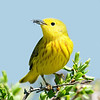 """Yellow Warbler with fly © 2008 Nova Mackentley Whitefish Point, MI YEL  <div class=""""ss-paypal-button""""><div class=""""ss-paypal-add-to-cart-section""""><div class=""""ss-paypal-product-options""""><h4>Mat Sizes</h4><ul><li><a href=""""https://www.paypal.com/cgi-bin/webscr?cmd=_cart&amp;business=T77V5VKCW4K2U&amp;lc=US&amp;item_name=Yellow%20Warbler%20with%20fly%20%C2%A9%202008%20Nova%20Mackentley%20Whitefish%20Point%2C%20MI%20YEL&amp;item_number=http%3A%2F%2Fwww.nightflightimages.com%2FGalleries-1%2FWarbler%2Fi-PDVxcKm&amp;button_subtype=products&amp;no_note=0&amp;cn=Add%20special%20instructions%20to%20the%20seller%3A&amp;no_shipping=2&amp;currency_code=USD&amp;weight_unit=lbs&amp;add=1&amp;bn=PP-ShopCartBF%3Abtn_cart_SM.gif%3ANonHosted&amp;on0=Mat%20Sizes&amp;option_select0=5%20x%207&amp;option_amount0=10.00&amp;option_select1=8%20x%2010&amp;option_amount1=18.00&amp;option_select2=11%20x%2014&amp;option_amount2=28.00&amp;option_select3=card&amp;option_amount3=4.00&amp;option_index=0&amp;charset=utf-8&amp;submit=&amp;os0=5%20x%207"""" target=""""paypal""""><span>5 x 7 $11.00 USD</span><img src=""""https://www.paypalobjects.com/en_US/i/btn/btn_cart_SM.gif""""></a></li><li><a href=""""https://www.paypal.com/cgi-bin/webscr?cmd=_cart&amp;business=T77V5VKCW4K2U&amp;lc=US&amp;item_name=Yellow%20Warbler%20with%20fly%20%C2%A9%202008%20Nova%20Mackentley%20Whitefish%20Point%2C%20MI%20YEL&amp;item_number=http%3A%2F%2Fwww.nightflightimages.com%2FGalleries-1%2FWarbler%2Fi-PDVxcKm&amp;button_subtype=products&amp;no_note=0&amp;cn=Add%20special%20instructions%20to%20the%20seller%3A&amp;no_shipping=2&amp;currency_code=USD&amp;weight_unit=lbs&amp;add=1&amp;bn=PP-ShopCartBF%3Abtn_cart_SM.gif%3ANonHosted&amp;on0=Mat%20Sizes&amp;option_select0=5%20x%207&amp;option_amount0=10.00&amp;option_select1=8%20x%2010&amp;option_amount1=18.00&amp;option_select2=11%20x%2014&amp;option_amount2=28.00&amp;option_select3=card&amp;option_amount3=4.00&amp;option_index=0&amp;charset=utf-8&amp;submit=&amp;os0=8%20x%2010"""" target=""""paypal""""><s"""