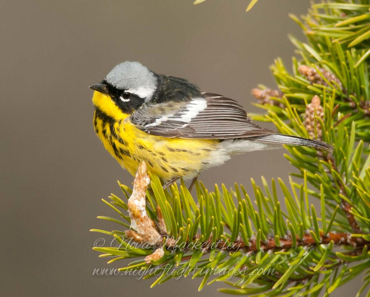 "Magnolia Warbler © 2013 Nova Mackentley Whitefish Point, MI MAG  <div class=""ss-paypal-button""><div class=""ss-paypal-add-to-cart-section""><div class=""ss-paypal-product-options""><h4>Mat Sizes</h4><ul><li><a href=""https://www.paypal.com/cgi-bin/webscr?cmd=_cart&amp;business=T77V5VKCW4K2U&amp;lc=US&amp;item_name=Magnolia%20Warbler%20%C2%A9%202013%20Nova%20Mackentley%20Whitefish%20Point%2C%20MI%20MAG&amp;item_number=http%3A%2F%2Fwww.nightflightimages.com%2FGalleries-1%2FWarbler%2Fi-PkTdqZq&amp;button_subtype=products&amp;no_note=0&amp;cn=Add%20special%20instructions%20to%20the%20seller%3A&amp;no_shipping=2&amp;currency_code=USD&amp;weight_unit=lbs&amp;add=1&amp;bn=PP-ShopCartBF%3Abtn_cart_SM.gif%3ANonHosted&amp;on0=Mat%20Sizes&amp;option_select0=5%20x%207&amp;option_amount0=10.00&amp;option_select1=8%20x%2010&amp;option_amount1=18.00&amp;option_select2=11%20x%2014&amp;option_amount2=28.00&amp;option_select3=card&amp;option_amount3=4.00&amp;option_index=0&amp;charset=utf-8&amp;submit=&amp;os0=5%20x%207"" target=""paypal""><span>5 x 7 $11.00 USD</span><img src=""https://www.paypalobjects.com/en_US/i/btn/btn_cart_SM.gif""></a></li><li><a href=""https://www.paypal.com/cgi-bin/webscr?cmd=_cart&amp;business=T77V5VKCW4K2U&amp;lc=US&amp;item_name=Magnolia%20Warbler%20%C2%A9%202013%20Nova%20Mackentley%20Whitefish%20Point%2C%20MI%20MAG&amp;item_number=http%3A%2F%2Fwww.nightflightimages.com%2FGalleries-1%2FWarbler%2Fi-PkTdqZq&amp;button_subtype=products&amp;no_note=0&amp;cn=Add%20special%20instructions%20to%20the%20seller%3A&amp;no_shipping=2&amp;currency_code=USD&amp;weight_unit=lbs&amp;add=1&amp;bn=PP-ShopCartBF%3Abtn_cart_SM.gif%3ANonHosted&amp;on0=Mat%20Sizes&amp;option_select0=5%20x%207&amp;option_amount0=10.00&amp;option_select1=8%20x%2010&amp;option_amount1=18.00&amp;option_select2=11%20x%2014&amp;option_amount2=28.00&amp;option_select3=card&amp;option_amount3=4.00&amp;option_index=0&amp;charset=utf-8&amp;submit=&amp;os0=8%20x%2010"" target=""paypal""><span>8 x 10 $19.00 USD</span><img src=""https://www.paypalobjects.com/en_US/i/btn/btn_cart_SM.gif""></a></li><li><a href=""https://www.paypal.com/cgi-bin/webscr?cmd=_cart&amp;business=T77V5VKCW4K2U&amp;lc=US&amp;item_name=Magnolia%20Warbler%20%C2%A9%202013%20Nova%20Mackentley%20Whitefish%20Point%2C%20MI%20MAG&amp;item_number=http%3A%2F%2Fwww.nightflightimages.com%2FGalleries-1%2FWarbler%2Fi-PkTdqZq&amp;button_subtype=products&amp;no_note=0&amp;cn=Add%20special%20instructions%20to%20the%20seller%3A&amp;no_shipping=2&amp;currency_code=USD&amp;weight_unit=lbs&amp;add=1&amp;bn=PP-ShopCartBF%3Abtn_cart_SM.gif%3ANonHosted&amp;on0=Mat%20Sizes&amp;option_select0=5%20x%207&amp;option_amount0=10.00&amp;option_select1=8%20x%2010&amp;option_amount1=18.00&amp;option_select2=11%20x%2014&amp;option_amount2=28.00&amp;option_select3=card&amp;option_amount3=4.00&amp;option_index=0&amp;charset=utf-8&amp;submit=&amp;os0=11%20x%2014"" target=""paypal""><span>11 x 14 $29.00 USD</span><img src=""https://www.paypalobjects.com/en_US/i/btn/btn_cart_SM.gif""></a></li><li><a href=""https://www.paypal.com/cgi-bin/webscr?cmd=_cart&amp;business=T77V5VKCW4K2U&amp;lc=US&amp;item_name=Magnolia%20Warbler%20%C2%A9%202013%20Nova%20Mackentley%20Whitefish%20Point%2C%20MI%20MAG&amp;item_number=http%3A%2F%2Fwww.nightflightimages.com%2FGalleries-1%2FWarbler%2Fi-PkTdqZq&amp;button_subtype=products&amp;no_note=0&amp;cn=Add%20special%20instructions%20to%20the%20seller%3A&amp;no_shipping=2&amp;currency_code=USD&amp;weight_unit=lbs&amp;add=1&amp;bn=PP-ShopCartBF%3Abtn_cart_SM.gif%3ANonHosted&amp;on0=Mat%20Sizes&amp;option_select0=5%20x%207&amp;option_amount0=10.00&amp;option_select1=8%20x%2010&amp;option_amount1=18.00&amp;option_select2=11%20x%2014&amp;option_amount2=28.00&amp;option_select3=card&amp;option_amount3=4.00&amp;option_index=0&amp;charset=utf-8&amp;submit=&amp;os0=card"" target=""paypal""><span>card $5.00 USD</span><img src=""https://www.paypalobjects.com/en_US/i/btn/btn_cart_SM.gif""></a></li></ul></div></div> <div class=""ss-paypal-view-cart-section""><a href=""https://www.paypal.com/cgi-bin/webscr?cmd=_cart&amp;business=T77V5VKCW4K2U&amp;display=1&amp;item_name=Magnolia%20Warbler%20%C2%A9%202013%20Nova%20Mackentley%20Whitefish%20Point%2C%20MI%20MAG&amp;item_number=http%3A%2F%2Fwww.nightflightimages.com%2FGalleries-1%2FWarbler%2Fi-PkTdqZq&amp;charset=utf-8&amp;submit="" target=""paypal"" class=""ss-paypal-submit-button""><img src=""https://www.paypalobjects.com/en_US/i/btn/btn_viewcart_LG.gif""></a></div></div><div class=""ss-paypal-button-end""></div>"