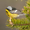 "Magnolia Warbler © 2013 Nova Mackentley Whitefish Point, MI MAG  <div class=""ss-paypal-button""><div class=""ss-paypal-add-to-cart-section""><div class=""ss-paypal-product-options""><h4>Mat Sizes</h4><ul><li><a href=""https://www.paypal.com/cgi-bin/webscr?cmd=_cart&business=T77V5VKCW4K2U&lc=US&item_name=Magnolia%20Warbler%20%C2%A9%202013%20Nova%20Mackentley%20Whitefish%20Point%2C%20MI%20MAG&item_number=http%3A%2F%2Fwww.nightflightimages.com%2FGalleries-1%2FWarbler%2Fi-PkTdqZq&button_subtype=products&no_note=0&cn=Add%20special%20instructions%20to%20the%20seller%3A&no_shipping=2&currency_code=USD&weight_unit=lbs&add=1&bn=PP-ShopCartBF%3Abtn_cart_SM.gif%3ANonHosted&on0=Mat%20Sizes&option_select0=5%20x%207&option_amount0=10.00&option_select1=8%20x%2010&option_amount1=18.00&option_select2=11%20x%2014&option_amount2=28.00&option_select3=card&option_amount3=4.00&option_index=0&charset=utf-8&submit=&os0=5%20x%207"" target=""paypal""><span>5 x 7 $11.00 USD</span><img src=""https://www.paypalobjects.com/en_US/i/btn/btn_cart_SM.gif""></a></li><li><a href=""https://www.paypal.com/cgi-bin/webscr?cmd=_cart&business=T77V5VKCW4K2U&lc=US&item_name=Magnolia%20Warbler%20%C2%A9%202013%20Nova%20Mackentley%20Whitefish%20Point%2C%20MI%20MAG&item_number=http%3A%2F%2Fwww.nightflightimages.com%2FGalleries-1%2FWarbler%2Fi-PkTdqZq&button_subtype=products&no_note=0&cn=Add%20special%20instructions%20to%20the%20seller%3A&no_shipping=2&currency_code=USD&weight_unit=lbs&add=1&bn=PP-ShopCartBF%3Abtn_cart_SM.gif%3ANonHosted&on0=Mat%20Sizes&option_select0=5%20x%207&option_amount0=10.00&option_select1=8%20x%2010&option_amount1=18.00&option_select2=11%20x%2014&option_amount2=28.00&option_select3=card&option_amount3=4.00&option_index=0&charset=utf-8&submit=&os0=8%20x%2010"" target=""paypal""><span>8 x 10 $19.00 USD</span><img src=""https://www.paypalobjects.com/en_US/i/btn/btn_cart_SM.gif""></a></li><li><a href=""https://www.paypal.com/cgi-bin/webscr?cmd=_cart&business=T77V5VKCW4K2U&lc=US&item_name=Magnolia%20Warbler%20%C2%A9%202013%20Nova%20Mackentley%20Whitefish%20Point%2C%20MI%20MAG&item_number=http%3A%2F%2Fwww.nightflightimages.com%2FGalleries-1%2FWarbler%2Fi-PkTdqZq&button_subtype=products&no_note=0&cn=Add%20special%20instructions%20to%20the%20seller%3A&no_shipping=2&currency_code=USD&weight_unit=lbs&add=1&bn=PP-ShopCartBF%3Abtn_cart_SM.gif%3ANonHosted&on0=Mat%20Sizes&option_select0=5%20x%207&option_amount0=10.00&option_select1=8%20x%2010&option_amount1=18.00&option_select2=11%20x%2014&option_amount2=28.00&option_select3=card&option_amount3=4.00&option_index=0&charset=utf-8&submit=&os0=11%20x%2014"" target=""paypal""><span>11 x 14 $29.00 USD</span><img src=""https://www.paypalobjects.com/en_US/i/btn/btn_cart_SM.gif""></a></li><li><a href=""https://www.paypal.com/cgi-bin/webscr?cmd=_cart&business=T77V5VKCW4K2U&lc=US&item_name=Magnolia%20Warbler%20%C2%A9%202013%20Nova%20Mackentley%20Whitefish%20Point%2C%20MI%20MAG&item_number=http%3A%2F%2Fwww.nightflightimages.com%2FGalleries-1%2FWarbler%2Fi-PkTdqZq&button_subtype=products&no_note=0&cn=Add%20special%20instructions%20to%20the%20seller%3A&no_shipping=2&currency_code=USD&weight_unit=lbs&add=1&bn=PP-ShopCartBF%3Abtn_cart_SM.gif%3ANonHosted&on0=Mat%20Sizes&option_select0=5%20x%207&option_amount0=10.00&option_select1=8%20x%2010&option_amount1=18.00&option_select2=11%20x%2014&option_amount2=28.00&option_select3=card&option_amount3=4.00&option_index=0&charset=utf-8&submit=&os0=card"" target=""paypal""><span>card $5.00 USD</span><img src=""https://www.paypalobjects.com/en_US/i/btn/btn_cart_SM.gif""></a></li></ul></div></div> <div class=""ss-paypal-view-cart-section""><a href=""https://www.paypal.com/cgi-bin/webscr?cmd=_cart&business=T77V5VKCW4K2U&display=1&item_name=Magnolia%20Warbler%20%C2%A9%202013%20Nova%20Mackentley%20Whitefish%20Point%2C%20MI%20MAG&item_number=http%3A%2F%2Fwww.nightflightimages.com%2FGalleries-1%2FWarbler%2Fi-PkTdqZq&charset=utf-8&submit="" target=""paypal"" class=""ss-paypal-submit-button""><img src=""https://www.paypalobjects.com/en_US/i/btn/btn_viewcart_LG.gif""></a></div></div><div class=""ss-paypal-button-end""></div>"