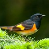 "American Redstart © 2011 Nova Mackentley Whitefish Point, MI RSM  <div class=""ss-paypal-button""><div class=""ss-paypal-add-to-cart-section""><div class=""ss-paypal-product-options""><h4>Mat Sizes</h4><ul><li><a href=""https://www.paypal.com/cgi-bin/webscr?cmd=_cart&business=T77V5VKCW4K2U&lc=US&item_name=American%20Redstart%20%C2%A9%202011%20Nova%20Mackentley%20Whitefish%20Point%2C%20MI%20RSM&item_number=http%3A%2F%2Fwww.nightflightimages.com%2FGalleries-1%2FWarbler%2Fi-RsTgNss&button_subtype=products&no_note=0&cn=Add%20special%20instructions%20to%20the%20seller%3A&no_shipping=2&currency_code=USD&weight_unit=lbs&add=1&bn=PP-ShopCartBF%3Abtn_cart_SM.gif%3ANonHosted&on0=Mat%20Sizes&option_select0=5%20x%207&option_amount0=10.00&option_select1=8%20x%2010&option_amount1=18.00&option_select2=11%20x%2014&option_amount2=28.00&option_select3=card&option_amount3=4.00&option_index=0&charset=utf-8&submit=&os0=5%20x%207"" target=""paypal""><span>5 x 7 $11.00 USD</span><img src=""https://www.paypalobjects.com/en_US/i/btn/btn_cart_SM.gif""></a></li><li><a href=""https://www.paypal.com/cgi-bin/webscr?cmd=_cart&business=T77V5VKCW4K2U&lc=US&item_name=American%20Redstart%20%C2%A9%202011%20Nova%20Mackentley%20Whitefish%20Point%2C%20MI%20RSM&item_number=http%3A%2F%2Fwww.nightflightimages.com%2FGalleries-1%2FWarbler%2Fi-RsTgNss&button_subtype=products&no_note=0&cn=Add%20special%20instructions%20to%20the%20seller%3A&no_shipping=2&currency_code=USD&weight_unit=lbs&add=1&bn=PP-ShopCartBF%3Abtn_cart_SM.gif%3ANonHosted&on0=Mat%20Sizes&option_select0=5%20x%207&option_amount0=10.00&option_select1=8%20x%2010&option_amount1=18.00&option_select2=11%20x%2014&option_amount2=28.00&option_select3=card&option_amount3=4.00&option_index=0&charset=utf-8&submit=&os0=8%20x%2010"" target=""paypal""><span>8 x 10 $19.00 USD</span><img src=""https://www.paypalobjects.com/en_US/i/btn/btn_cart_SM.gif""></a></li><li><a href=""https://www.paypal.com/cgi-bin/webscr?cmd=_cart&business=T77V5VKCW4K2U&lc=US&item_name=American%20Redstart%20%C2%A9%202011%20Nova%20Mackentley%20Whitefish%20Point%2C%20MI%20RSM&item_number=http%3A%2F%2Fwww.nightflightimages.com%2FGalleries-1%2FWarbler%2Fi-RsTgNss&button_subtype=products&no_note=0&cn=Add%20special%20instructions%20to%20the%20seller%3A&no_shipping=2&currency_code=USD&weight_unit=lbs&add=1&bn=PP-ShopCartBF%3Abtn_cart_SM.gif%3ANonHosted&on0=Mat%20Sizes&option_select0=5%20x%207&option_amount0=10.00&option_select1=8%20x%2010&option_amount1=18.00&option_select2=11%20x%2014&option_amount2=28.00&option_select3=card&option_amount3=4.00&option_index=0&charset=utf-8&submit=&os0=11%20x%2014"" target=""paypal""><span>11 x 14 $29.00 USD</span><img src=""https://www.paypalobjects.com/en_US/i/btn/btn_cart_SM.gif""></a></li><li><a href=""https://www.paypal.com/cgi-bin/webscr?cmd=_cart&business=T77V5VKCW4K2U&lc=US&item_name=American%20Redstart%20%C2%A9%202011%20Nova%20Mackentley%20Whitefish%20Point%2C%20MI%20RSM&item_number=http%3A%2F%2Fwww.nightflightimages.com%2FGalleries-1%2FWarbler%2Fi-RsTgNss&button_subtype=products&no_note=0&cn=Add%20special%20instructions%20to%20the%20seller%3A&no_shipping=2&currency_code=USD&weight_unit=lbs&add=1&bn=PP-ShopCartBF%3Abtn_cart_SM.gif%3ANonHosted&on0=Mat%20Sizes&option_select0=5%20x%207&option_amount0=10.00&option_select1=8%20x%2010&option_amount1=18.00&option_select2=11%20x%2014&option_amount2=28.00&option_select3=card&option_amount3=4.00&option_index=0&charset=utf-8&submit=&os0=card"" target=""paypal""><span>card $5.00 USD</span><img src=""https://www.paypalobjects.com/en_US/i/btn/btn_cart_SM.gif""></a></li></ul></div></div> <div class=""ss-paypal-view-cart-section""><a href=""https://www.paypal.com/cgi-bin/webscr?cmd=_cart&business=T77V5VKCW4K2U&display=1&item_name=American%20Redstart%20%C2%A9%202011%20Nova%20Mackentley%20Whitefish%20Point%2C%20MI%20RSM&item_number=http%3A%2F%2Fwww.nightflightimages.com%2FGalleries-1%2FWarbler%2Fi-RsTgNss&charset=utf-8&submit="" target=""paypal"" class=""ss-paypal-submit-button""><img src=""https://www.paypalobjects.com/en_US/i/btn/btn_viewcart_LG.gif""></a></div></div><div class=""ss-paypal-button-end""></div>"