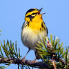 """Blackburnian Warbler © 2009 C. M. Neri. Whitefish Point, MI BLBWSONG  <div class=""""ss-paypal-button""""><div class=""""ss-paypal-add-to-cart-section""""><div class=""""ss-paypal-product-options""""><h4>Mat Sizes</h4><ul><li><a href=""""https://www.paypal.com/cgi-bin/webscr?cmd=_cart&amp;business=T77V5VKCW4K2U&amp;lc=US&amp;item_name=Blackburnian%20Warbler%20%C2%A9%202009%20C.%20M.%20Neri.%20Whitefish%20Point%2C%20MI%20BLBWSONG&amp;item_number=http%3A%2F%2Fwww.nightflightimages.com%2FGalleries-1%2FWarbler%2Fi-SrvsK3Z&amp;button_subtype=products&amp;no_note=0&amp;cn=Add%20special%20instructions%20to%20the%20seller%3A&amp;no_shipping=2&amp;currency_code=USD&amp;weight_unit=lbs&amp;add=1&amp;bn=PP-ShopCartBF%3Abtn_cart_SM.gif%3ANonHosted&amp;on0=Mat%20Sizes&amp;option_select0=5%20x%207&amp;option_amount0=10.00&amp;option_select1=8%20x%2010&amp;option_amount1=18.00&amp;option_select2=11%20x%2014&amp;option_amount2=28.00&amp;option_select3=card&amp;option_amount3=4.00&amp;option_index=0&amp;charset=utf-8&amp;submit=&amp;os0=5%20x%207"""" target=""""paypal""""><span>5 x 7 $11.00 USD</span><img src=""""https://www.paypalobjects.com/en_US/i/btn/btn_cart_SM.gif""""></a></li><li><a href=""""https://www.paypal.com/cgi-bin/webscr?cmd=_cart&amp;business=T77V5VKCW4K2U&amp;lc=US&amp;item_name=Blackburnian%20Warbler%20%C2%A9%202009%20C.%20M.%20Neri.%20Whitefish%20Point%2C%20MI%20BLBWSONG&amp;item_number=http%3A%2F%2Fwww.nightflightimages.com%2FGalleries-1%2FWarbler%2Fi-SrvsK3Z&amp;button_subtype=products&amp;no_note=0&amp;cn=Add%20special%20instructions%20to%20the%20seller%3A&amp;no_shipping=2&amp;currency_code=USD&amp;weight_unit=lbs&amp;add=1&amp;bn=PP-ShopCartBF%3Abtn_cart_SM.gif%3ANonHosted&amp;on0=Mat%20Sizes&amp;option_select0=5%20x%207&amp;option_amount0=10.00&amp;option_select1=8%20x%2010&amp;option_amount1=18.00&amp;option_select2=11%20x%2014&amp;option_amount2=28.00&amp;option_select3=card&amp;option_amount3=4.00&amp;option_index=0&amp;charset=utf-8&amp;submit=&amp;os0=8%20x%2010"""" target=""""paypal""""><span>8 x 10"""