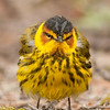 "Cape May Warbler-Angry Bird 1 © 2014 Nova Mackentley Whitefish Point, MI CMH  <div class=""ss-paypal-button""><div class=""ss-paypal-add-to-cart-section""><div class=""ss-paypal-product-options""><h4>Mat Sizes</h4><ul><li><a href=""https://www.paypal.com/cgi-bin/webscr?cmd=_cart&amp;business=T77V5VKCW4K2U&amp;lc=US&amp;item_name=Cape%20May%20Warbler-Angry%20Bird%201%20%C2%A9%202014%20Nova%20Mackentley%20Whitefish%20Point%2C%20MI%20CMH&amp;item_number=http%3A%2F%2Fwww.nightflightimages.com%2FGalleries-1%2FWarbler%2Fi-VfbrZSh&amp;button_subtype=products&amp;no_note=0&amp;cn=Add%20special%20instructions%20to%20the%20seller%3A&amp;no_shipping=2&amp;currency_code=USD&amp;weight_unit=lbs&amp;add=1&amp;bn=PP-ShopCartBF%3Abtn_cart_SM.gif%3ANonHosted&amp;on0=Mat%20Sizes&amp;option_select0=5%20x%207&amp;option_amount0=10.00&amp;option_select1=8%20x%2010&amp;option_amount1=18.00&amp;option_select2=11%20x%2014&amp;option_amount2=28.00&amp;option_select3=card&amp;option_amount3=4.00&amp;option_index=0&amp;charset=utf-8&amp;submit=&amp;os0=5%20x%207"" target=""paypal""><span>5 x 7 $11.00 USD</span><img src=""https://www.paypalobjects.com/en_US/i/btn/btn_cart_SM.gif""></a></li><li><a href=""https://www.paypal.com/cgi-bin/webscr?cmd=_cart&amp;business=T77V5VKCW4K2U&amp;lc=US&amp;item_name=Cape%20May%20Warbler-Angry%20Bird%201%20%C2%A9%202014%20Nova%20Mackentley%20Whitefish%20Point%2C%20MI%20CMH&amp;item_number=http%3A%2F%2Fwww.nightflightimages.com%2FGalleries-1%2FWarbler%2Fi-VfbrZSh&amp;button_subtype=products&amp;no_note=0&amp;cn=Add%20special%20instructions%20to%20the%20seller%3A&amp;no_shipping=2&amp;currency_code=USD&amp;weight_unit=lbs&amp;add=1&amp;bn=PP-ShopCartBF%3Abtn_cart_SM.gif%3ANonHosted&amp;on0=Mat%20Sizes&amp;option_select0=5%20x%207&amp;option_amount0=10.00&amp;option_select1=8%20x%2010&amp;option_amount1=18.00&amp;option_select2=11%20x%2014&amp;option_amount2=28.00&amp;option_select3=card&amp;option_amount3=4.00&amp;option_index=0&amp;charset=utf-8&amp;submit=&amp;os0=8%20x%2010"" target=""paypal""><span>8 x 10 $19.00 USD</span><img src=""https://www.paypalobjects.com/en_US/i/btn/btn_cart_SM.gif""></a></li><li><a href=""https://www.paypal.com/cgi-bin/webscr?cmd=_cart&amp;business=T77V5VKCW4K2U&amp;lc=US&amp;item_name=Cape%20May%20Warbler-Angry%20Bird%201%20%C2%A9%202014%20Nova%20Mackentley%20Whitefish%20Point%2C%20MI%20CMH&amp;item_number=http%3A%2F%2Fwww.nightflightimages.com%2FGalleries-1%2FWarbler%2Fi-VfbrZSh&amp;button_subtype=products&amp;no_note=0&amp;cn=Add%20special%20instructions%20to%20the%20seller%3A&amp;no_shipping=2&amp;currency_code=USD&amp;weight_unit=lbs&amp;add=1&amp;bn=PP-ShopCartBF%3Abtn_cart_SM.gif%3ANonHosted&amp;on0=Mat%20Sizes&amp;option_select0=5%20x%207&amp;option_amount0=10.00&amp;option_select1=8%20x%2010&amp;option_amount1=18.00&amp;option_select2=11%20x%2014&amp;option_amount2=28.00&amp;option_select3=card&amp;option_amount3=4.00&amp;option_index=0&amp;charset=utf-8&amp;submit=&amp;os0=11%20x%2014"" target=""paypal""><span>11 x 14 $29.00 USD</span><img src=""https://www.paypalobjects.com/en_US/i/btn/btn_cart_SM.gif""></a></li><li><a href=""https://www.paypal.com/cgi-bin/webscr?cmd=_cart&amp;business=T77V5VKCW4K2U&amp;lc=US&amp;item_name=Cape%20May%20Warbler-Angry%20Bird%201%20%C2%A9%202014%20Nova%20Mackentley%20Whitefish%20Point%2C%20MI%20CMH&amp;item_number=http%3A%2F%2Fwww.nightflightimages.com%2FGalleries-1%2FWarbler%2Fi-VfbrZSh&amp;button_subtype=products&amp;no_note=0&amp;cn=Add%20special%20instructions%20to%20the%20seller%3A&amp;no_shipping=2&amp;currency_code=USD&amp;weight_unit=lbs&amp;add=1&amp;bn=PP-ShopCartBF%3Abtn_cart_SM.gif%3ANonHosted&amp;on0=Mat%20Sizes&amp;option_select0=5%20x%207&amp;option_amount0=10.00&amp;option_select1=8%20x%2010&amp;option_amount1=18.00&amp;option_select2=11%20x%2014&amp;option_amount2=28.00&amp;option_select3=card&amp;option_amount3=4.00&amp;option_index=0&amp;charset=utf-8&amp;submit=&amp;os0=card"" target=""paypal""><span>card $5.00 USD</span><img src=""https://www.paypalobjects.com/en_US/i/btn/btn_cart_SM.gif""></a></li></ul></div></div> <div class=""ss-paypal-view-cart-section""><a href=""https://www.paypal.com/cgi-bin/webscr?cmd=_cart&amp;business=T77V5VKCW4K2U&amp;display=1&amp;item_name=Cape%20May%20Warbler-Angry%20Bird%201%20%C2%A9%202014%20Nova%20Mackentley%20Whitefish%20Point%2C%20MI%20CMH&amp;item_number=http%3A%2F%2Fwww.nightflightimages.com%2FGalleries-1%2FWarbler%2Fi-VfbrZSh&amp;charset=utf-8&amp;submit="" target=""paypal"" class=""ss-paypal-submit-button""><img src=""https://www.paypalobjects.com/en_US/i/btn/btn_viewcart_LG.gif""></a></div></div><div class=""ss-paypal-button-end""></div>"