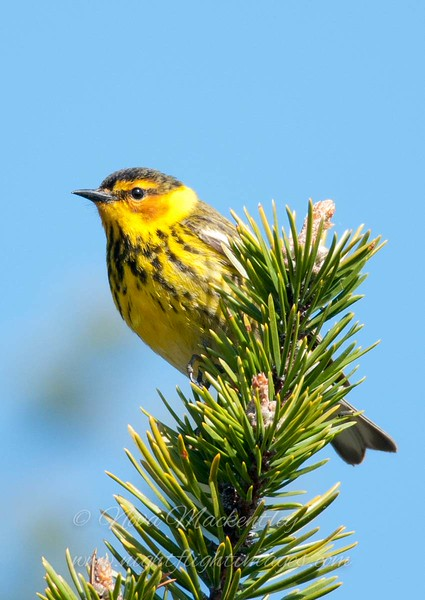 "Cape May Warbler © 2011 Nova Mackentley Whitefish Point, MI CMC  <div class=""ss-paypal-button""><div class=""ss-paypal-add-to-cart-section""><div class=""ss-paypal-product-options""><h4>Mat Sizes</h4><ul><li><a href=""https://www.paypal.com/cgi-bin/webscr?cmd=_cart&amp;business=T77V5VKCW4K2U&amp;lc=US&amp;item_name=Cape%20May%20Warbler%20%C2%A9%202011%20Nova%20Mackentley%20Whitefish%20Point%2C%20MI%20CMC&amp;item_number=http%3A%2F%2Fwww.nightflightimages.com%2FGalleries-1%2FWarbler%2Fi-d4zB94G&amp;button_subtype=products&amp;no_note=0&amp;cn=Add%20special%20instructions%20to%20the%20seller%3A&amp;no_shipping=2&amp;currency_code=USD&amp;weight_unit=lbs&amp;add=1&amp;bn=PP-ShopCartBF%3Abtn_cart_SM.gif%3ANonHosted&amp;on0=Mat%20Sizes&amp;option_select0=5%20x%207&amp;option_amount0=10.00&amp;option_select1=8%20x%2010&amp;option_amount1=18.00&amp;option_select2=11%20x%2014&amp;option_amount2=28.00&amp;option_select3=card&amp;option_amount3=4.00&amp;option_index=0&amp;charset=utf-8&amp;submit=&amp;os0=5%20x%207"" target=""paypal""><span>5 x 7 $11.00 USD</span><img src=""https://www.paypalobjects.com/en_US/i/btn/btn_cart_SM.gif""></a></li><li><a href=""https://www.paypal.com/cgi-bin/webscr?cmd=_cart&amp;business=T77V5VKCW4K2U&amp;lc=US&amp;item_name=Cape%20May%20Warbler%20%C2%A9%202011%20Nova%20Mackentley%20Whitefish%20Point%2C%20MI%20CMC&amp;item_number=http%3A%2F%2Fwww.nightflightimages.com%2FGalleries-1%2FWarbler%2Fi-d4zB94G&amp;button_subtype=products&amp;no_note=0&amp;cn=Add%20special%20instructions%20to%20the%20seller%3A&amp;no_shipping=2&amp;currency_code=USD&amp;weight_unit=lbs&amp;add=1&amp;bn=PP-ShopCartBF%3Abtn_cart_SM.gif%3ANonHosted&amp;on0=Mat%20Sizes&amp;option_select0=5%20x%207&amp;option_amount0=10.00&amp;option_select1=8%20x%2010&amp;option_amount1=18.00&amp;option_select2=11%20x%2014&amp;option_amount2=28.00&amp;option_select3=card&amp;option_amount3=4.00&amp;option_index=0&amp;charset=utf-8&amp;submit=&amp;os0=8%20x%2010"" target=""paypal""><span>8 x 10 $19.00 USD</span><img src=""https://www.paypalobjects.com/en_US/i/btn/btn_cart_SM.gif""></a></li><li><a href=""https://www.paypal.com/cgi-bin/webscr?cmd=_cart&amp;business=T77V5VKCW4K2U&amp;lc=US&amp;item_name=Cape%20May%20Warbler%20%C2%A9%202011%20Nova%20Mackentley%20Whitefish%20Point%2C%20MI%20CMC&amp;item_number=http%3A%2F%2Fwww.nightflightimages.com%2FGalleries-1%2FWarbler%2Fi-d4zB94G&amp;button_subtype=products&amp;no_note=0&amp;cn=Add%20special%20instructions%20to%20the%20seller%3A&amp;no_shipping=2&amp;currency_code=USD&amp;weight_unit=lbs&amp;add=1&amp;bn=PP-ShopCartBF%3Abtn_cart_SM.gif%3ANonHosted&amp;on0=Mat%20Sizes&amp;option_select0=5%20x%207&amp;option_amount0=10.00&amp;option_select1=8%20x%2010&amp;option_amount1=18.00&amp;option_select2=11%20x%2014&amp;option_amount2=28.00&amp;option_select3=card&amp;option_amount3=4.00&amp;option_index=0&amp;charset=utf-8&amp;submit=&amp;os0=11%20x%2014"" target=""paypal""><span>11 x 14 $29.00 USD</span><img src=""https://www.paypalobjects.com/en_US/i/btn/btn_cart_SM.gif""></a></li><li><a href=""https://www.paypal.com/cgi-bin/webscr?cmd=_cart&amp;business=T77V5VKCW4K2U&amp;lc=US&amp;item_name=Cape%20May%20Warbler%20%C2%A9%202011%20Nova%20Mackentley%20Whitefish%20Point%2C%20MI%20CMC&amp;item_number=http%3A%2F%2Fwww.nightflightimages.com%2FGalleries-1%2FWarbler%2Fi-d4zB94G&amp;button_subtype=products&amp;no_note=0&amp;cn=Add%20special%20instructions%20to%20the%20seller%3A&amp;no_shipping=2&amp;currency_code=USD&amp;weight_unit=lbs&amp;add=1&amp;bn=PP-ShopCartBF%3Abtn_cart_SM.gif%3ANonHosted&amp;on0=Mat%20Sizes&amp;option_select0=5%20x%207&amp;option_amount0=10.00&amp;option_select1=8%20x%2010&amp;option_amount1=18.00&amp;option_select2=11%20x%2014&amp;option_amount2=28.00&amp;option_select3=card&amp;option_amount3=4.00&amp;option_index=0&amp;charset=utf-8&amp;submit=&amp;os0=card"" target=""paypal""><span>card $5.00 USD</span><img src=""https://www.paypalobjects.com/en_US/i/btn/btn_cart_SM.gif""></a></li></ul></div></div> <div class=""ss-paypal-view-cart-section""><a href=""https://www.paypal.com/cgi-bin/webscr?cmd=_cart&amp;business=T77V5VKCW4K2U&amp;display=1&amp;item_name=Cape%20May%20Warbler%20%C2%A9%202011%20Nova%20Mackentley%20Whitefish%20Point%2C%20MI%20CMC&amp;item_number=http%3A%2F%2Fwww.nightflightimages.com%2FGalleries-1%2FWarbler%2Fi-d4zB94G&amp;charset=utf-8&amp;submit="" target=""paypal"" class=""ss-paypal-submit-button""><img src=""https://www.paypalobjects.com/en_US/i/btn/btn_viewcart_LG.gif""></a></div></div><div class=""ss-paypal-button-end""></div>"