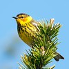 "Cape May Warbler © 2011 Nova Mackentley Whitefish Point, MI CMC  <div class=""ss-paypal-button""><div class=""ss-paypal-add-to-cart-section""><div class=""ss-paypal-product-options""><h4>Mat Sizes</h4><ul><li><a href=""https://www.paypal.com/cgi-bin/webscr?cmd=_cart&business=T77V5VKCW4K2U&lc=US&item_name=Cape%20May%20Warbler%20%C2%A9%202011%20Nova%20Mackentley%20Whitefish%20Point%2C%20MI%20CMC&item_number=http%3A%2F%2Fwww.nightflightimages.com%2FGalleries-1%2FWarbler%2Fi-d4zB94G&button_subtype=products&no_note=0&cn=Add%20special%20instructions%20to%20the%20seller%3A&no_shipping=2&currency_code=USD&weight_unit=lbs&add=1&bn=PP-ShopCartBF%3Abtn_cart_SM.gif%3ANonHosted&on0=Mat%20Sizes&option_select0=5%20x%207&option_amount0=10.00&option_select1=8%20x%2010&option_amount1=18.00&option_select2=11%20x%2014&option_amount2=28.00&option_select3=card&option_amount3=4.00&option_index=0&charset=utf-8&submit=&os0=5%20x%207"" target=""paypal""><span>5 x 7 $11.00 USD</span><img src=""https://www.paypalobjects.com/en_US/i/btn/btn_cart_SM.gif""></a></li><li><a href=""https://www.paypal.com/cgi-bin/webscr?cmd=_cart&business=T77V5VKCW4K2U&lc=US&item_name=Cape%20May%20Warbler%20%C2%A9%202011%20Nova%20Mackentley%20Whitefish%20Point%2C%20MI%20CMC&item_number=http%3A%2F%2Fwww.nightflightimages.com%2FGalleries-1%2FWarbler%2Fi-d4zB94G&button_subtype=products&no_note=0&cn=Add%20special%20instructions%20to%20the%20seller%3A&no_shipping=2&currency_code=USD&weight_unit=lbs&add=1&bn=PP-ShopCartBF%3Abtn_cart_SM.gif%3ANonHosted&on0=Mat%20Sizes&option_select0=5%20x%207&option_amount0=10.00&option_select1=8%20x%2010&option_amount1=18.00&option_select2=11%20x%2014&option_amount2=28.00&option_select3=card&option_amount3=4.00&option_index=0&charset=utf-8&submit=&os0=8%20x%2010"" target=""paypal""><span>8 x 10 $19.00 USD</span><img src=""https://www.paypalobjects.com/en_US/i/btn/btn_cart_SM.gif""></a></li><li><a href=""https://www.paypal.com/cgi-bin/webscr?cmd=_cart&business=T77V5VKCW4K2U&lc=US&item_name=Cape%20May%20Warbler%20%C2%A9%202011%20Nova%20Mackentley%20Whitefish%20Point%2C%20MI%20CMC&item_number=http%3A%2F%2Fwww.nightflightimages.com%2FGalleries-1%2FWarbler%2Fi-d4zB94G&button_subtype=products&no_note=0&cn=Add%20special%20instructions%20to%20the%20seller%3A&no_shipping=2&currency_code=USD&weight_unit=lbs&add=1&bn=PP-ShopCartBF%3Abtn_cart_SM.gif%3ANonHosted&on0=Mat%20Sizes&option_select0=5%20x%207&option_amount0=10.00&option_select1=8%20x%2010&option_amount1=18.00&option_select2=11%20x%2014&option_amount2=28.00&option_select3=card&option_amount3=4.00&option_index=0&charset=utf-8&submit=&os0=11%20x%2014"" target=""paypal""><span>11 x 14 $29.00 USD</span><img src=""https://www.paypalobjects.com/en_US/i/btn/btn_cart_SM.gif""></a></li><li><a href=""https://www.paypal.com/cgi-bin/webscr?cmd=_cart&business=T77V5VKCW4K2U&lc=US&item_name=Cape%20May%20Warbler%20%C2%A9%202011%20Nova%20Mackentley%20Whitefish%20Point%2C%20MI%20CMC&item_number=http%3A%2F%2Fwww.nightflightimages.com%2FGalleries-1%2FWarbler%2Fi-d4zB94G&button_subtype=products&no_note=0&cn=Add%20special%20instructions%20to%20the%20seller%3A&no_shipping=2&currency_code=USD&weight_unit=lbs&add=1&bn=PP-ShopCartBF%3Abtn_cart_SM.gif%3ANonHosted&on0=Mat%20Sizes&option_select0=5%20x%207&option_amount0=10.00&option_select1=8%20x%2010&option_amount1=18.00&option_select2=11%20x%2014&option_amount2=28.00&option_select3=card&option_amount3=4.00&option_index=0&charset=utf-8&submit=&os0=card"" target=""paypal""><span>card $5.00 USD</span><img src=""https://www.paypalobjects.com/en_US/i/btn/btn_cart_SM.gif""></a></li></ul></div></div> <div class=""ss-paypal-view-cart-section""><a href=""https://www.paypal.com/cgi-bin/webscr?cmd=_cart&business=T77V5VKCW4K2U&display=1&item_name=Cape%20May%20Warbler%20%C2%A9%202011%20Nova%20Mackentley%20Whitefish%20Point%2C%20MI%20CMC&item_number=http%3A%2F%2Fwww.nightflightimages.com%2FGalleries-1%2FWarbler%2Fi-d4zB94G&charset=utf-8&submit="" target=""paypal"" class=""ss-paypal-submit-button""><img src=""https://www.paypalobjects.com/en_US/i/btn/btn_viewcart_LG.gif""></a></div></div><div class=""ss-paypal-button-end""></div>"