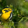 "Blackburnian Warbler © 2009 Nova Mackentley Whitefish Point, MI BBL  <div class=""ss-paypal-button""><div class=""ss-paypal-add-to-cart-section""><div class=""ss-paypal-product-options""><h4>Mat Sizes</h4><ul><li><a href=""https://www.paypal.com/cgi-bin/webscr?cmd=_cart&business=T77V5VKCW4K2U&lc=US&item_name=Blackburnian%20Warbler%20%C2%A9%202009%20Nova%20Mackentley%20Whitefish%20Point%2C%20MI%20BBL&item_number=http%3A%2F%2Fwww.nightflightimages.com%2FGalleries-1%2FWarbler%2Fi-fPkP5cg&button_subtype=products&no_note=0&cn=Add%20special%20instructions%20to%20the%20seller%3A&no_shipping=2&currency_code=USD&weight_unit=lbs&add=1&bn=PP-ShopCartBF%3Abtn_cart_SM.gif%3ANonHosted&on0=Mat%20Sizes&option_select0=5%20x%207&option_amount0=10.00&option_select1=8%20x%2010&option_amount1=18.00&option_select2=11%20x%2014&option_amount2=28.00&option_select3=card&option_amount3=4.00&option_index=0&charset=utf-8&submit=&os0=5%20x%207"" target=""paypal""><span>5 x 7 $11.00 USD</span><img src=""https://www.paypalobjects.com/en_US/i/btn/btn_cart_SM.gif""></a></li><li><a href=""https://www.paypal.com/cgi-bin/webscr?cmd=_cart&business=T77V5VKCW4K2U&lc=US&item_name=Blackburnian%20Warbler%20%C2%A9%202009%20Nova%20Mackentley%20Whitefish%20Point%2C%20MI%20BBL&item_number=http%3A%2F%2Fwww.nightflightimages.com%2FGalleries-1%2FWarbler%2Fi-fPkP5cg&button_subtype=products&no_note=0&cn=Add%20special%20instructions%20to%20the%20seller%3A&no_shipping=2&currency_code=USD&weight_unit=lbs&add=1&bn=PP-ShopCartBF%3Abtn_cart_SM.gif%3ANonHosted&on0=Mat%20Sizes&option_select0=5%20x%207&option_amount0=10.00&option_select1=8%20x%2010&option_amount1=18.00&option_select2=11%20x%2014&option_amount2=28.00&option_select3=card&option_amount3=4.00&option_index=0&charset=utf-8&submit=&os0=8%20x%2010"" target=""paypal""><span>8 x 10 $19.00 USD</span><img src=""https://www.paypalobjects.com/en_US/i/btn/btn_cart_SM.gif""></a></li><li><a href=""https://www.paypal.com/cgi-bin/webscr?cmd=_cart&business=T77V5VKCW4K2U&lc=US&item_name=Blackburnian%20Warbler%20%C2%A9%202009%20Nova%20Mackentley%20Whitefish%20Point%2C%20MI%20BBL&item_number=http%3A%2F%2Fwww.nightflightimages.com%2FGalleries-1%2FWarbler%2Fi-fPkP5cg&button_subtype=products&no_note=0&cn=Add%20special%20instructions%20to%20the%20seller%3A&no_shipping=2&currency_code=USD&weight_unit=lbs&add=1&bn=PP-ShopCartBF%3Abtn_cart_SM.gif%3ANonHosted&on0=Mat%20Sizes&option_select0=5%20x%207&option_amount0=10.00&option_select1=8%20x%2010&option_amount1=18.00&option_select2=11%20x%2014&option_amount2=28.00&option_select3=card&option_amount3=4.00&option_index=0&charset=utf-8&submit=&os0=11%20x%2014"" target=""paypal""><span>11 x 14 $29.00 USD</span><img src=""https://www.paypalobjects.com/en_US/i/btn/btn_cart_SM.gif""></a></li><li><a href=""https://www.paypal.com/cgi-bin/webscr?cmd=_cart&business=T77V5VKCW4K2U&lc=US&item_name=Blackburnian%20Warbler%20%C2%A9%202009%20Nova%20Mackentley%20Whitefish%20Point%2C%20MI%20BBL&item_number=http%3A%2F%2Fwww.nightflightimages.com%2FGalleries-1%2FWarbler%2Fi-fPkP5cg&button_subtype=products&no_note=0&cn=Add%20special%20instructions%20to%20the%20seller%3A&no_shipping=2&currency_code=USD&weight_unit=lbs&add=1&bn=PP-ShopCartBF%3Abtn_cart_SM.gif%3ANonHosted&on0=Mat%20Sizes&option_select0=5%20x%207&option_amount0=10.00&option_select1=8%20x%2010&option_amount1=18.00&option_select2=11%20x%2014&option_amount2=28.00&option_select3=card&option_amount3=4.00&option_index=0&charset=utf-8&submit=&os0=card"" target=""paypal""><span>card $5.00 USD</span><img src=""https://www.paypalobjects.com/en_US/i/btn/btn_cart_SM.gif""></a></li></ul></div></div> <div class=""ss-paypal-view-cart-section""><a href=""https://www.paypal.com/cgi-bin/webscr?cmd=_cart&business=T77V5VKCW4K2U&display=1&item_name=Blackburnian%20Warbler%20%C2%A9%202009%20Nova%20Mackentley%20Whitefish%20Point%2C%20MI%20BBL&item_number=http%3A%2F%2Fwww.nightflightimages.com%2FGalleries-1%2FWarbler%2Fi-fPkP5cg&charset=utf-8&submit="" target=""paypal"" class=""ss-paypal-submit-button""><img src=""https://www.paypalobjects.com/en_US/i/btn/btn_viewcart_LG.gif""></a></div></div><div class=""ss-paypal-button-end""></div>"