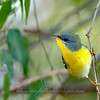 """Possible hybrid Northern/Tropical Parula © 2009 C. M. Neri.  Laguna Atascoca NWR, TX  <div class=""""ss-paypal-button""""><div class=""""ss-paypal-add-to-cart-section""""><div class=""""ss-paypal-product-options""""><h4>Mat Sizes</h4><ul><li><a href=""""https://www.paypal.com/cgi-bin/webscr?cmd=_cart&business=T77V5VKCW4K2U&lc=US&item_name=Possible%20hybrid%20Northern%2FTropical%20Parula%20%C2%A9%202009%20C.%20M.%20Neri.%20%20Laguna%20Atascoca%20NWR%2C%20TX&item_number=http%3A%2F%2Fwww.nightflightimages.com%2FGalleries-1%2FWarbler%2Fi-gXvsXZP&button_subtype=products&no_note=0&cn=Add%20special%20instructions%20to%20the%20seller%3A&no_shipping=2&currency_code=USD&weight_unit=lbs&add=1&bn=PP-ShopCartBF%3Abtn_cart_SM.gif%3ANonHosted&on0=Mat%20Sizes&option_select0=5%20x%207&option_amount0=10.00&option_select1=8%20x%2010&option_amount1=18.00&option_select2=11%20x%2014&option_amount2=28.00&option_select3=card&option_amount3=4.00&option_index=0&charset=utf-8&submit=&os0=5%20x%207"""" target=""""paypal""""><span>5 x 7 $11.00 USD</span><img src=""""https://www.paypalobjects.com/en_US/i/btn/btn_cart_SM.gif""""></a></li><li><a href=""""https://www.paypal.com/cgi-bin/webscr?cmd=_cart&business=T77V5VKCW4K2U&lc=US&item_name=Possible%20hybrid%20Northern%2FTropical%20Parula%20%C2%A9%202009%20C.%20M.%20Neri.%20%20Laguna%20Atascoca%20NWR%2C%20TX&item_number=http%3A%2F%2Fwww.nightflightimages.com%2FGalleries-1%2FWarbler%2Fi-gXvsXZP&button_subtype=products&no_note=0&cn=Add%20special%20instructions%20to%20the%20seller%3A&no_shipping=2&currency_code=USD&weight_unit=lbs&add=1&bn=PP-ShopCartBF%3Abtn_cart_SM.gif%3ANonHosted&on0=Mat%20Sizes&option_select0=5%20x%207&option_amount0=10.00&option_select1=8%20x%2010&option_amount1=18.00&option_select2=11%20x%2014&option_amount2=28.00&option_select3=card&option_amount3=4.00&option_index=0&charset=utf-8&submit=&os0=8%20x%2010"""" target=""""paypal""""><span>8 x 10 $19.00 USD</span><img src=""""https://www.paypalobjects.com/en_US/i/btn/btn_cart_SM.gif""""></a></li><li><a href=""""https://www.paypal.com/cgi-"""