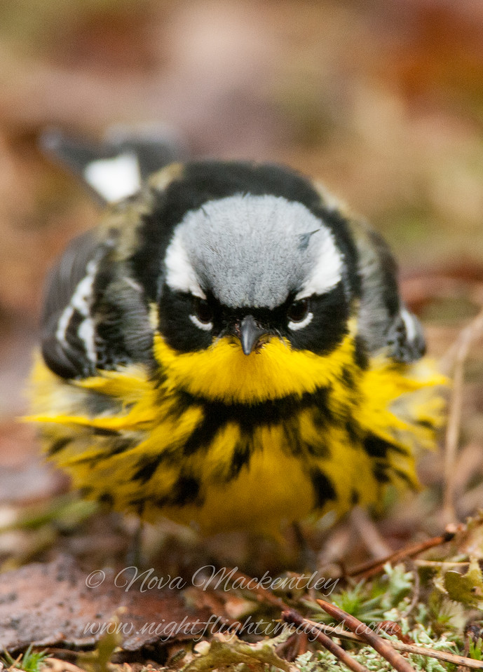 "Magnolia Warbler-Angry Bird 2 © 2014 Nova Mackentley Whitefish Point, MI MAH  <div class=""ss-paypal-button""><div class=""ss-paypal-add-to-cart-section""><div class=""ss-paypal-product-options""><h4>Mat Sizes</h4><ul><li><a href=""https://www.paypal.com/cgi-bin/webscr?cmd=_cart&business=T77V5VKCW4K2U&lc=US&item_name=Magnolia%20Warbler-Angry%20Bird%202%20%C2%A9%202014%20Nova%20Mackentley%20Whitefish%20Point%2C%20MI%20MAH&item_number=http%3A%2F%2Fwww.nightflightimages.com%2FGalleries-1%2FWarbler%2Fi-hJNpXF4&button_subtype=products&no_note=0&cn=Add%20special%20instructions%20to%20the%20seller%3A&no_shipping=2&currency_code=USD&weight_unit=lbs&add=1&bn=PP-ShopCartBF%3Abtn_cart_SM.gif%3ANonHosted&on0=Mat%20Sizes&option_select0=5%20x%207&option_amount0=10.00&option_select1=8%20x%2010&option_amount1=18.00&option_select2=11%20x%2014&option_amount2=28.00&option_select3=card&option_amount3=4.00&option_index=0&charset=utf-8&submit=&os0=5%20x%207"" target=""paypal""><span>5 x 7 $11.00 USD</span><img src=""https://www.paypalobjects.com/en_US/i/btn/btn_cart_SM.gif""></a></li><li><a href=""https://www.paypal.com/cgi-bin/webscr?cmd=_cart&business=T77V5VKCW4K2U&lc=US&item_name=Magnolia%20Warbler-Angry%20Bird%202%20%C2%A9%202014%20Nova%20Mackentley%20Whitefish%20Point%2C%20MI%20MAH&item_number=http%3A%2F%2Fwww.nightflightimages.com%2FGalleries-1%2FWarbler%2Fi-hJNpXF4&button_subtype=products&no_note=0&cn=Add%20special%20instructions%20to%20the%20seller%3A&no_shipping=2&currency_code=USD&weight_unit=lbs&add=1&bn=PP-ShopCartBF%3Abtn_cart_SM.gif%3ANonHosted&on0=Mat%20Sizes&option_select0=5%20x%207&option_amount0=10.00&option_select1=8%20x%2010&option_amount1=18.00&option_select2=11%20x%2014&option_amount2=28.00&option_select3=card&option_amount3=4.00&option_index=0&charset=utf-8&submit=&os0=8%20x%2010"" target=""paypal""><span>8 x 10 $19.00 USD</span><img src=""https://www.paypalobjects.com/en_US/i/btn/btn_cart_SM.gif""></a></li><li><a href=""https://www.paypal.com/cgi-bin/webscr?cmd=_cart&business=T77V5VKCW4K2U&lc=US&item_name=Magnolia%20Warbler-Angry%20Bird%202%20%C2%A9%202014%20Nova%20Mackentley%20Whitefish%20Point%2C%20MI%20MAH&item_number=http%3A%2F%2Fwww.nightflightimages.com%2FGalleries-1%2FWarbler%2Fi-hJNpXF4&button_subtype=products&no_note=0&cn=Add%20special%20instructions%20to%20the%20seller%3A&no_shipping=2&currency_code=USD&weight_unit=lbs&add=1&bn=PP-ShopCartBF%3Abtn_cart_SM.gif%3ANonHosted&on0=Mat%20Sizes&option_select0=5%20x%207&option_amount0=10.00&option_select1=8%20x%2010&option_amount1=18.00&option_select2=11%20x%2014&option_amount2=28.00&option_select3=card&option_amount3=4.00&option_index=0&charset=utf-8&submit=&os0=11%20x%2014"" target=""paypal""><span>11 x 14 $29.00 USD</span><img src=""https://www.paypalobjects.com/en_US/i/btn/btn_cart_SM.gif""></a></li><li><a href=""https://www.paypal.com/cgi-bin/webscr?cmd=_cart&business=T77V5VKCW4K2U&lc=US&item_name=Magnolia%20Warbler-Angry%20Bird%202%20%C2%A9%202014%20Nova%20Mackentley%20Whitefish%20Point%2C%20MI%20MAH&item_number=http%3A%2F%2Fwww.nightflightimages.com%2FGalleries-1%2FWarbler%2Fi-hJNpXF4&button_subtype=products&no_note=0&cn=Add%20special%20instructions%20to%20the%20seller%3A&no_shipping=2&currency_code=USD&weight_unit=lbs&add=1&bn=PP-ShopCartBF%3Abtn_cart_SM.gif%3ANonHosted&on0=Mat%20Sizes&option_select0=5%20x%207&option_amount0=10.00&option_select1=8%20x%2010&option_amount1=18.00&option_select2=11%20x%2014&option_amount2=28.00&option_select3=card&option_amount3=4.00&option_index=0&charset=utf-8&submit=&os0=card"" target=""paypal""><span>card $5.00 USD</span><img src=""https://www.paypalobjects.com/en_US/i/btn/btn_cart_SM.gif""></a></li></ul></div></div> <div class=""ss-paypal-view-cart-section""><a href=""https://www.paypal.com/cgi-bin/webscr?cmd=_cart&business=T77V5VKCW4K2U&display=1&item_name=Magnolia%20Warbler-Angry%20Bird%202%20%C2%A9%202014%20Nova%20Mackentley%20Whitefish%20Point%2C%20MI%20MAH&item_number=http%3A%2F%2Fwww.nightflightimages.com%2FGalleries-1%2FWarbler%2Fi-hJNpXF4&charset=utf-8&submit="" target=""paypal"" class=""ss-paypal-submit-button""><img src=""https://www.paypalobjects.com/en_US/i/btn/btn_viewcart_LG.gif""></a></div></div><div class=""ss-paypal-button-end""></div>"