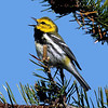 "Black-throated Green Warbler © 2005 C. M. Neri. Whitefish Point, MI BTNWSONG  <div class=""ss-paypal-button""><div class=""ss-paypal-add-to-cart-section""><div class=""ss-paypal-product-options""><h4>Mat Sizes</h4><ul><li><a href=""https://www.paypal.com/cgi-bin/webscr?cmd=_cart&amp;business=T77V5VKCW4K2U&amp;lc=US&amp;item_name=Black-throated%20Green%20Warbler%20%C2%A9%202005%20C.%20M.%20Neri.%20Whitefish%20Point%2C%20MI%20BTNWSONG&amp;item_number=http%3A%2F%2Fwww.nightflightimages.com%2FGalleries-1%2FWarbler%2Fi-pjGDXbC&amp;button_subtype=products&amp;no_note=0&amp;cn=Add%20special%20instructions%20to%20the%20seller%3A&amp;no_shipping=2&amp;currency_code=USD&amp;weight_unit=lbs&amp;add=1&amp;bn=PP-ShopCartBF%3Abtn_cart_SM.gif%3ANonHosted&amp;on0=Mat%20Sizes&amp;option_select0=5%20x%207&amp;option_amount0=10.00&amp;option_select1=8%20x%2010&amp;option_amount1=18.00&amp;option_select2=11%20x%2014&amp;option_amount2=28.00&amp;option_select3=card&amp;option_amount3=4.00&amp;option_index=0&amp;charset=utf-8&amp;submit=&amp;os0=5%20x%207"" target=""paypal""><span>5 x 7 $11.00 USD</span><img src=""https://www.paypalobjects.com/en_US/i/btn/btn_cart_SM.gif""></a></li><li><a href=""https://www.paypal.com/cgi-bin/webscr?cmd=_cart&amp;business=T77V5VKCW4K2U&amp;lc=US&amp;item_name=Black-throated%20Green%20Warbler%20%C2%A9%202005%20C.%20M.%20Neri.%20Whitefish%20Point%2C%20MI%20BTNWSONG&amp;item_number=http%3A%2F%2Fwww.nightflightimages.com%2FGalleries-1%2FWarbler%2Fi-pjGDXbC&amp;button_subtype=products&amp;no_note=0&amp;cn=Add%20special%20instructions%20to%20the%20seller%3A&amp;no_shipping=2&amp;currency_code=USD&amp;weight_unit=lbs&amp;add=1&amp;bn=PP-ShopCartBF%3Abtn_cart_SM.gif%3ANonHosted&amp;on0=Mat%20Sizes&amp;option_select0=5%20x%207&amp;option_amount0=10.00&amp;option_select1=8%20x%2010&amp;option_amount1=18.00&amp;option_select2=11%20x%2014&amp;option_amount2=28.00&amp;option_select3=card&amp;option_amount3=4.00&amp;option_index=0&amp;charset=utf-8&amp;submit=&amp;os0=8%20x%2010"" target=""paypal""><span>8 x 10 $19.00 USD</span><img src=""https://www.paypalobjects.com/en_US/i/btn/btn_cart_SM.gif""></a></li><li><a href=""https://www.paypal.com/cgi-bin/webscr?cmd=_cart&amp;business=T77V5VKCW4K2U&amp;lc=US&amp;item_name=Black-throated%20Green%20Warbler%20%C2%A9%202005%20C.%20M.%20Neri.%20Whitefish%20Point%2C%20MI%20BTNWSONG&amp;item_number=http%3A%2F%2Fwww.nightflightimages.com%2FGalleries-1%2FWarbler%2Fi-pjGDXbC&amp;button_subtype=products&amp;no_note=0&amp;cn=Add%20special%20instructions%20to%20the%20seller%3A&amp;no_shipping=2&amp;currency_code=USD&amp;weight_unit=lbs&amp;add=1&amp;bn=PP-ShopCartBF%3Abtn_cart_SM.gif%3ANonHosted&amp;on0=Mat%20Sizes&amp;option_select0=5%20x%207&amp;option_amount0=10.00&amp;option_select1=8%20x%2010&amp;option_amount1=18.00&amp;option_select2=11%20x%2014&amp;option_amount2=28.00&amp;option_select3=card&amp;option_amount3=4.00&amp;option_index=0&amp;charset=utf-8&amp;submit=&amp;os0=11%20x%2014"" target=""paypal""><span>11 x 14 $29.00 USD</span><img src=""https://www.paypalobjects.com/en_US/i/btn/btn_cart_SM.gif""></a></li><li><a href=""https://www.paypal.com/cgi-bin/webscr?cmd=_cart&amp;business=T77V5VKCW4K2U&amp;lc=US&amp;item_name=Black-throated%20Green%20Warbler%20%C2%A9%202005%20C.%20M.%20Neri.%20Whitefish%20Point%2C%20MI%20BTNWSONG&amp;item_number=http%3A%2F%2Fwww.nightflightimages.com%2FGalleries-1%2FWarbler%2Fi-pjGDXbC&amp;button_subtype=products&amp;no_note=0&amp;cn=Add%20special%20instructions%20to%20the%20seller%3A&amp;no_shipping=2&amp;currency_code=USD&amp;weight_unit=lbs&amp;add=1&amp;bn=PP-ShopCartBF%3Abtn_cart_SM.gif%3ANonHosted&amp;on0=Mat%20Sizes&amp;option_select0=5%20x%207&amp;option_amount0=10.00&amp;option_select1=8%20x%2010&amp;option_amount1=18.00&amp;option_select2=11%20x%2014&amp;option_amount2=28.00&amp;option_select3=card&amp;option_amount3=4.00&amp;option_index=0&amp;charset=utf-8&amp;submit=&amp;os0=card"" target=""paypal""><span>card $5.00 USD</span><img src=""https://www.paypalobjects.com/en_US/i/btn/btn_cart_SM.gif""></a></li></ul></div></div> <div class=""ss-paypal-view-cart-section""><a href=""https://www.paypal.com/cgi-bin/webscr?cmd=_cart&amp;business=T77V5VKCW4K2U&amp;display=1&amp;item_name=Black-throated%20Green%20Warbler%20%C2%A9%202005%20C.%20M.%20Neri.%20Whitefish%20Point%2C%20MI%20BTNWSONG&amp;item_number=http%3A%2F%2Fwww.nightflightimages.com%2FGalleries-1%2FWarbler%2Fi-pjGDXbC&amp;charset=utf-8&amp;submit="" target=""paypal"" class=""ss-paypal-submit-button""><img src=""https://www.paypalobjects.com/en_US/i/btn/btn_viewcart_LG.gif""></a></div></div><div class=""ss-paypal-button-end""></div>"