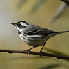 "Black-throated Gray Warbler © 2010 C. M. Neri. Clear Lake State Park, CA BTYW  <div class=""ss-paypal-button""><div class=""ss-paypal-add-to-cart-section""><div class=""ss-paypal-product-options""><h4>Mat Sizes</h4><ul><li><a href=""https://www.paypal.com/cgi-bin/webscr?cmd=_cart&business=T77V5VKCW4K2U&lc=US&item_name=Black-throated%20Gray%20Warbler%20%C2%A9%202010%20C.%20M.%20Neri.%20Clear%20Lake%20State%20Park%2C%20CA%20BTYW&item_number=http%3A%2F%2Fwww.nightflightimages.com%2FGalleries-1%2FTravels%2Fi-rQGqQ5r&button_subtype=products&no_note=0&cn=Add%20special%20instructions%20to%20the%20seller%3A&no_shipping=2&currency_code=USD&weight_unit=lbs&add=1&bn=PP-ShopCartBF%3Abtn_cart_SM.gif%3ANonHosted&on0=Mat%20Sizes&option_select0=5%20x%207&option_amount0=10.00&option_select1=8%20x%2010&option_amount1=18.00&option_select2=11%20x%2014&option_amount2=28.00&option_select3=card&option_amount3=4.00&option_index=0&charset=utf-8&submit=&os0=5%20x%207"" target=""paypal""><span>5 x 7 $11.00 USD</span><img src=""https://www.paypalobjects.com/en_US/i/btn/btn_cart_SM.gif""></a></li><li><a href=""https://www.paypal.com/cgi-bin/webscr?cmd=_cart&business=T77V5VKCW4K2U&lc=US&item_name=Black-throated%20Gray%20Warbler%20%C2%A9%202010%20C.%20M.%20Neri.%20Clear%20Lake%20State%20Park%2C%20CA%20BTYW&item_number=http%3A%2F%2Fwww.nightflightimages.com%2FGalleries-1%2FTravels%2Fi-rQGqQ5r&button_subtype=products&no_note=0&cn=Add%20special%20instructions%20to%20the%20seller%3A&no_shipping=2&currency_code=USD&weight_unit=lbs&add=1&bn=PP-ShopCartBF%3Abtn_cart_SM.gif%3ANonHosted&on0=Mat%20Sizes&option_select0=5%20x%207&option_amount0=10.00&option_select1=8%20x%2010&option_amount1=18.00&option_select2=11%20x%2014&option_amount2=28.00&option_select3=card&option_amount3=4.00&option_index=0&charset=utf-8&submit=&os0=8%20x%2010"" target=""paypal""><span>8 x 10 $19.00 USD</span><img src=""https://www.paypalobjects.com/en_US/i/btn/btn_cart_SM.gif""></a></li><li><a href=""https://www.paypal.com/cgi-bin/webscr?cmd=_cart&business=T77V5VKCW4K2U&lc=US&item_name=Black-throated%20Gray%20Warbler%20%C2%A9%202010%20C.%20M.%20Neri.%20Clear%20Lake%20State%20Park%2C%20CA%20BTYW&item_number=http%3A%2F%2Fwww.nightflightimages.com%2FGalleries-1%2FTravels%2Fi-rQGqQ5r&button_subtype=products&no_note=0&cn=Add%20special%20instructions%20to%20the%20seller%3A&no_shipping=2&currency_code=USD&weight_unit=lbs&add=1&bn=PP-ShopCartBF%3Abtn_cart_SM.gif%3ANonHosted&on0=Mat%20Sizes&option_select0=5%20x%207&option_amount0=10.00&option_select1=8%20x%2010&option_amount1=18.00&option_select2=11%20x%2014&option_amount2=28.00&option_select3=card&option_amount3=4.00&option_index=0&charset=utf-8&submit=&os0=11%20x%2014"" target=""paypal""><span>11 x 14 $29.00 USD</span><img src=""https://www.paypalobjects.com/en_US/i/btn/btn_cart_SM.gif""></a></li><li><a href=""https://www.paypal.com/cgi-bin/webscr?cmd=_cart&business=T77V5VKCW4K2U&lc=US&item_name=Black-throated%20Gray%20Warbler%20%C2%A9%202010%20C.%20M.%20Neri.%20Clear%20Lake%20State%20Park%2C%20CA%20BTYW&item_number=http%3A%2F%2Fwww.nightflightimages.com%2FGalleries-1%2FTravels%2Fi-rQGqQ5r&button_subtype=products&no_note=0&cn=Add%20special%20instructions%20to%20the%20seller%3A&no_shipping=2&currency_code=USD&weight_unit=lbs&add=1&bn=PP-ShopCartBF%3Abtn_cart_SM.gif%3ANonHosted&on0=Mat%20Sizes&option_select0=5%20x%207&option_amount0=10.00&option_select1=8%20x%2010&option_amount1=18.00&option_select2=11%20x%2014&option_amount2=28.00&option_select3=card&option_amount3=4.00&option_index=0&charset=utf-8&submit=&os0=card"" target=""paypal""><span>card $5.00 USD</span><img src=""https://www.paypalobjects.com/en_US/i/btn/btn_cart_SM.gif""></a></li></ul></div></div> <div class=""ss-paypal-view-cart-section""><a href=""https://www.paypal.com/cgi-bin/webscr?cmd=_cart&business=T77V5VKCW4K2U&display=1&item_name=Black-throated%20Gray%20Warbler%20%C2%A9%202010%20C.%20M.%20Neri.%20Clear%20Lake%20State%20Park%2C%20CA%20BTYW&item_number=http%3A%2F%2Fwww.nightflightimages.com%2FGalleries-1%2FTravels%2Fi-rQGqQ5r&charset=utf-8&submit="" target=""paypal"" class=""ss-paypal-submit-button""><img src=""https://www.paypalobjects.com/en_US/i/btn/btn_viewcart_LG.gif""></a></div></div><div class=""ss-paypal-button-end""></div>"