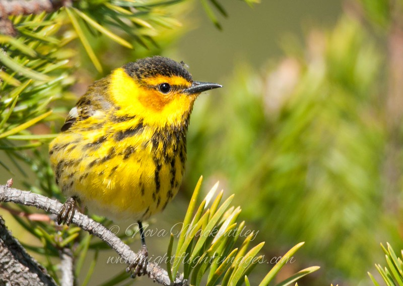 "Cape May Warbler © 2011 Nova Mackentley Whitefish Point, MI CMD  <div class=""ss-paypal-button""><div class=""ss-paypal-add-to-cart-section""><div class=""ss-paypal-product-options""><h4>Mat Sizes</h4><ul><li><a href=""https://www.paypal.com/cgi-bin/webscr?cmd=_cart&amp;business=T77V5VKCW4K2U&amp;lc=US&amp;item_name=Cape%20May%20Warbler%20%C2%A9%202011%20Nova%20Mackentley%20Whitefish%20Point%2C%20MI%20CMD&amp;item_number=http%3A%2F%2Fwww.nightflightimages.com%2FGalleries-1%2FWarbler%2Fi-sTb65nH&amp;button_subtype=products&amp;no_note=0&amp;cn=Add%20special%20instructions%20to%20the%20seller%3A&amp;no_shipping=2&amp;currency_code=USD&amp;weight_unit=lbs&amp;add=1&amp;bn=PP-ShopCartBF%3Abtn_cart_SM.gif%3ANonHosted&amp;on0=Mat%20Sizes&amp;option_select0=5%20x%207&amp;option_amount0=10.00&amp;option_select1=8%20x%2010&amp;option_amount1=18.00&amp;option_select2=11%20x%2014&amp;option_amount2=28.00&amp;option_select3=card&amp;option_amount3=4.00&amp;option_index=0&amp;charset=utf-8&amp;submit=&amp;os0=5%20x%207"" target=""paypal""><span>5 x 7 $11.00 USD</span><img src=""https://www.paypalobjects.com/en_US/i/btn/btn_cart_SM.gif""></a></li><li><a href=""https://www.paypal.com/cgi-bin/webscr?cmd=_cart&amp;business=T77V5VKCW4K2U&amp;lc=US&amp;item_name=Cape%20May%20Warbler%20%C2%A9%202011%20Nova%20Mackentley%20Whitefish%20Point%2C%20MI%20CMD&amp;item_number=http%3A%2F%2Fwww.nightflightimages.com%2FGalleries-1%2FWarbler%2Fi-sTb65nH&amp;button_subtype=products&amp;no_note=0&amp;cn=Add%20special%20instructions%20to%20the%20seller%3A&amp;no_shipping=2&amp;currency_code=USD&amp;weight_unit=lbs&amp;add=1&amp;bn=PP-ShopCartBF%3Abtn_cart_SM.gif%3ANonHosted&amp;on0=Mat%20Sizes&amp;option_select0=5%20x%207&amp;option_amount0=10.00&amp;option_select1=8%20x%2010&amp;option_amount1=18.00&amp;option_select2=11%20x%2014&amp;option_amount2=28.00&amp;option_select3=card&amp;option_amount3=4.00&amp;option_index=0&amp;charset=utf-8&amp;submit=&amp;os0=8%20x%2010"" target=""paypal""><span>8 x 10 $19.00 USD</span><img src=""https://www.paypalobjects.com/en_US/i/btn/btn_cart_SM.gif""></a></li><li><a href=""https://www.paypal.com/cgi-bin/webscr?cmd=_cart&amp;business=T77V5VKCW4K2U&amp;lc=US&amp;item_name=Cape%20May%20Warbler%20%C2%A9%202011%20Nova%20Mackentley%20Whitefish%20Point%2C%20MI%20CMD&amp;item_number=http%3A%2F%2Fwww.nightflightimages.com%2FGalleries-1%2FWarbler%2Fi-sTb65nH&amp;button_subtype=products&amp;no_note=0&amp;cn=Add%20special%20instructions%20to%20the%20seller%3A&amp;no_shipping=2&amp;currency_code=USD&amp;weight_unit=lbs&amp;add=1&amp;bn=PP-ShopCartBF%3Abtn_cart_SM.gif%3ANonHosted&amp;on0=Mat%20Sizes&amp;option_select0=5%20x%207&amp;option_amount0=10.00&amp;option_select1=8%20x%2010&amp;option_amount1=18.00&amp;option_select2=11%20x%2014&amp;option_amount2=28.00&amp;option_select3=card&amp;option_amount3=4.00&amp;option_index=0&amp;charset=utf-8&amp;submit=&amp;os0=11%20x%2014"" target=""paypal""><span>11 x 14 $29.00 USD</span><img src=""https://www.paypalobjects.com/en_US/i/btn/btn_cart_SM.gif""></a></li><li><a href=""https://www.paypal.com/cgi-bin/webscr?cmd=_cart&amp;business=T77V5VKCW4K2U&amp;lc=US&amp;item_name=Cape%20May%20Warbler%20%C2%A9%202011%20Nova%20Mackentley%20Whitefish%20Point%2C%20MI%20CMD&amp;item_number=http%3A%2F%2Fwww.nightflightimages.com%2FGalleries-1%2FWarbler%2Fi-sTb65nH&amp;button_subtype=products&amp;no_note=0&amp;cn=Add%20special%20instructions%20to%20the%20seller%3A&amp;no_shipping=2&amp;currency_code=USD&amp;weight_unit=lbs&amp;add=1&amp;bn=PP-ShopCartBF%3Abtn_cart_SM.gif%3ANonHosted&amp;on0=Mat%20Sizes&amp;option_select0=5%20x%207&amp;option_amount0=10.00&amp;option_select1=8%20x%2010&amp;option_amount1=18.00&amp;option_select2=11%20x%2014&amp;option_amount2=28.00&amp;option_select3=card&amp;option_amount3=4.00&amp;option_index=0&amp;charset=utf-8&amp;submit=&amp;os0=card"" target=""paypal""><span>card $5.00 USD</span><img src=""https://www.paypalobjects.com/en_US/i/btn/btn_cart_SM.gif""></a></li></ul></div></div> <div class=""ss-paypal-view-cart-section""><a href=""https://www.paypal.com/cgi-bin/webscr?cmd=_cart&amp;business=T77V5VKCW4K2U&amp;display=1&amp;item_name=Cape%20May%20Warbler%20%C2%A9%202011%20Nova%20Mackentley%20Whitefish%20Point%2C%20MI%20CMD&amp;item_number=http%3A%2F%2Fwww.nightflightimages.com%2FGalleries-1%2FWarbler%2Fi-sTb65nH&amp;charset=utf-8&amp;submit="" target=""paypal"" class=""ss-paypal-submit-button""><img src=""https://www.paypalobjects.com/en_US/i/btn/btn_viewcart_LG.gif""></a></div></div><div class=""ss-paypal-button-end""></div>"