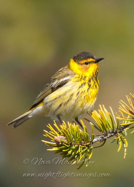 """Cape May Warbler © 2011 Nova Mackentley Whitefish Point, MI CMB  <div class=""""ss-paypal-button""""><div class=""""ss-paypal-add-to-cart-section""""><div class=""""ss-paypal-product-options""""><h4>Mat Sizes</h4><ul><li><a href=""""https://www.paypal.com/cgi-bin/webscr?cmd=_cart&amp;business=T77V5VKCW4K2U&amp;lc=US&amp;item_name=Cape%20May%20Warbler%20%C2%A9%202011%20Nova%20Mackentley%20Whitefish%20Point%2C%20MI%20CMB&amp;item_number=http%3A%2F%2Fwww.nightflightimages.com%2FGalleries-1%2FWarbler%2Fi-tGd6bpj&amp;button_subtype=products&amp;no_note=0&amp;cn=Add%20special%20instructions%20to%20the%20seller%3A&amp;no_shipping=2&amp;currency_code=USD&amp;weight_unit=lbs&amp;add=1&amp;bn=PP-ShopCartBF%3Abtn_cart_SM.gif%3ANonHosted&amp;on0=Mat%20Sizes&amp;option_select0=5%20x%207&amp;option_amount0=10.00&amp;option_select1=8%20x%2010&amp;option_amount1=18.00&amp;option_select2=11%20x%2014&amp;option_amount2=28.00&amp;option_select3=card&amp;option_amount3=4.00&amp;option_index=0&amp;charset=utf-8&amp;submit=&amp;os0=5%20x%207"""" target=""""paypal""""><span>5 x 7 $11.00 USD</span><img src=""""https://www.paypalobjects.com/en_US/i/btn/btn_cart_SM.gif""""></a></li><li><a href=""""https://www.paypal.com/cgi-bin/webscr?cmd=_cart&amp;business=T77V5VKCW4K2U&amp;lc=US&amp;item_name=Cape%20May%20Warbler%20%C2%A9%202011%20Nova%20Mackentley%20Whitefish%20Point%2C%20MI%20CMB&amp;item_number=http%3A%2F%2Fwww.nightflightimages.com%2FGalleries-1%2FWarbler%2Fi-tGd6bpj&amp;button_subtype=products&amp;no_note=0&amp;cn=Add%20special%20instructions%20to%20the%20seller%3A&amp;no_shipping=2&amp;currency_code=USD&amp;weight_unit=lbs&amp;add=1&amp;bn=PP-ShopCartBF%3Abtn_cart_SM.gif%3ANonHosted&amp;on0=Mat%20Sizes&amp;option_select0=5%20x%207&amp;option_amount0=10.00&amp;option_select1=8%20x%2010&amp;option_amount1=18.00&amp;option_select2=11%20x%2014&amp;option_amount2=28.00&amp;option_select3=card&amp;option_amount3=4.00&amp;option_index=0&amp;charset=utf-8&amp;submit=&amp;os0=8%20x%2010"""" target=""""paypal""""><span>8 x 10 $19.00 USD</sp"""