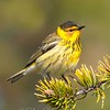 "Cape May Warbler © 2011 Nova Mackentley Whitefish Point, MI CMB  <div class=""ss-paypal-button""><div class=""ss-paypal-add-to-cart-section""><div class=""ss-paypal-product-options""><h4>Mat Sizes</h4><ul><li><a href=""https://www.paypal.com/cgi-bin/webscr?cmd=_cart&amp;business=T77V5VKCW4K2U&amp;lc=US&amp;item_name=Cape%20May%20Warbler%20%C2%A9%202011%20Nova%20Mackentley%20Whitefish%20Point%2C%20MI%20CMB&amp;item_number=http%3A%2F%2Fwww.nightflightimages.com%2FGalleries-1%2FWarbler%2Fi-tGd6bpj&amp;button_subtype=products&amp;no_note=0&amp;cn=Add%20special%20instructions%20to%20the%20seller%3A&amp;no_shipping=2&amp;currency_code=USD&amp;weight_unit=lbs&amp;add=1&amp;bn=PP-ShopCartBF%3Abtn_cart_SM.gif%3ANonHosted&amp;on0=Mat%20Sizes&amp;option_select0=5%20x%207&amp;option_amount0=10.00&amp;option_select1=8%20x%2010&amp;option_amount1=18.00&amp;option_select2=11%20x%2014&amp;option_amount2=28.00&amp;option_select3=card&amp;option_amount3=4.00&amp;option_index=0&amp;charset=utf-8&amp;submit=&amp;os0=5%20x%207"" target=""paypal""><span>5 x 7 $11.00 USD</span><img src=""https://www.paypalobjects.com/en_US/i/btn/btn_cart_SM.gif""></a></li><li><a href=""https://www.paypal.com/cgi-bin/webscr?cmd=_cart&amp;business=T77V5VKCW4K2U&amp;lc=US&amp;item_name=Cape%20May%20Warbler%20%C2%A9%202011%20Nova%20Mackentley%20Whitefish%20Point%2C%20MI%20CMB&amp;item_number=http%3A%2F%2Fwww.nightflightimages.com%2FGalleries-1%2FWarbler%2Fi-tGd6bpj&amp;button_subtype=products&amp;no_note=0&amp;cn=Add%20special%20instructions%20to%20the%20seller%3A&amp;no_shipping=2&amp;currency_code=USD&amp;weight_unit=lbs&amp;add=1&amp;bn=PP-ShopCartBF%3Abtn_cart_SM.gif%3ANonHosted&amp;on0=Mat%20Sizes&amp;option_select0=5%20x%207&amp;option_amount0=10.00&amp;option_select1=8%20x%2010&amp;option_amount1=18.00&amp;option_select2=11%20x%2014&amp;option_amount2=28.00&amp;option_select3=card&amp;option_amount3=4.00&amp;option_index=0&amp;charset=utf-8&amp;submit=&amp;os0=8%20x%2010"" target=""paypal""><span>8 x 10 $19.00 USD</span><img src=""https://www.paypalobjects.com/en_US/i/btn/btn_cart_SM.gif""></a></li><li><a href=""https://www.paypal.com/cgi-bin/webscr?cmd=_cart&amp;business=T77V5VKCW4K2U&amp;lc=US&amp;item_name=Cape%20May%20Warbler%20%C2%A9%202011%20Nova%20Mackentley%20Whitefish%20Point%2C%20MI%20CMB&amp;item_number=http%3A%2F%2Fwww.nightflightimages.com%2FGalleries-1%2FWarbler%2Fi-tGd6bpj&amp;button_subtype=products&amp;no_note=0&amp;cn=Add%20special%20instructions%20to%20the%20seller%3A&amp;no_shipping=2&amp;currency_code=USD&amp;weight_unit=lbs&amp;add=1&amp;bn=PP-ShopCartBF%3Abtn_cart_SM.gif%3ANonHosted&amp;on0=Mat%20Sizes&amp;option_select0=5%20x%207&amp;option_amount0=10.00&amp;option_select1=8%20x%2010&amp;option_amount1=18.00&amp;option_select2=11%20x%2014&amp;option_amount2=28.00&amp;option_select3=card&amp;option_amount3=4.00&amp;option_index=0&amp;charset=utf-8&amp;submit=&amp;os0=11%20x%2014"" target=""paypal""><span>11 x 14 $29.00 USD</span><img src=""https://www.paypalobjects.com/en_US/i/btn/btn_cart_SM.gif""></a></li><li><a href=""https://www.paypal.com/cgi-bin/webscr?cmd=_cart&amp;business=T77V5VKCW4K2U&amp;lc=US&amp;item_name=Cape%20May%20Warbler%20%C2%A9%202011%20Nova%20Mackentley%20Whitefish%20Point%2C%20MI%20CMB&amp;item_number=http%3A%2F%2Fwww.nightflightimages.com%2FGalleries-1%2FWarbler%2Fi-tGd6bpj&amp;button_subtype=products&amp;no_note=0&amp;cn=Add%20special%20instructions%20to%20the%20seller%3A&amp;no_shipping=2&amp;currency_code=USD&amp;weight_unit=lbs&amp;add=1&amp;bn=PP-ShopCartBF%3Abtn_cart_SM.gif%3ANonHosted&amp;on0=Mat%20Sizes&amp;option_select0=5%20x%207&amp;option_amount0=10.00&amp;option_select1=8%20x%2010&amp;option_amount1=18.00&amp;option_select2=11%20x%2014&amp;option_amount2=28.00&amp;option_select3=card&amp;option_amount3=4.00&amp;option_index=0&amp;charset=utf-8&amp;submit=&amp;os0=card"" target=""paypal""><span>card $5.00 USD</span><img src=""https://www.paypalobjects.com/en_US/i/btn/btn_cart_SM.gif""></a></li></ul></div></div> <div class=""ss-paypal-view-cart-section""><a href=""https://www.paypal.com/cgi-bin/webscr?cmd=_cart&amp;business=T77V5VKCW4K2U&amp;display=1&amp;item_name=Cape%20May%20Warbler%20%C2%A9%202011%20Nova%20Mackentley%20Whitefish%20Point%2C%20MI%20CMB&amp;item_number=http%3A%2F%2Fwww.nightflightimages.com%2FGalleries-1%2FWarbler%2Fi-tGd6bpj&amp;charset=utf-8&amp;submit="" target=""paypal"" class=""ss-paypal-submit-button""><img src=""https://www.paypalobjects.com/en_US/i/btn/btn_viewcart_LG.gif""></a></div></div><div class=""ss-paypal-button-end""></div>"