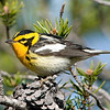 """Blackburnian Warbler © 2009 C. M. Neri. Whitefish Point, MI BLBW09  <div class=""""ss-paypal-button""""><div class=""""ss-paypal-add-to-cart-section""""><div class=""""ss-paypal-product-options""""><h4>Mat Sizes</h4><ul><li><a href=""""https://www.paypal.com/cgi-bin/webscr?cmd=_cart&business=T77V5VKCW4K2U&lc=US&item_name=Blackburnian%20Warbler%20%C2%A9%202009%20C.%20M.%20Neri.%20Whitefish%20Point%2C%20MI%20BLBW09&item_number=http%3A%2F%2Fwww.nightflightimages.com%2FGalleries-1%2FWarbler%2Fi-vJ6b9gr&button_subtype=products&no_note=0&cn=Add%20special%20instructions%20to%20the%20seller%3A&no_shipping=2&currency_code=USD&weight_unit=lbs&add=1&bn=PP-ShopCartBF%3Abtn_cart_SM.gif%3ANonHosted&on0=Mat%20Sizes&option_select0=5%20x%207&option_amount0=10.00&option_select1=8%20x%2010&option_amount1=18.00&option_select2=11%20x%2014&option_amount2=28.00&option_select3=card&option_amount3=4.00&option_index=0&charset=utf-8&submit=&os0=5%20x%207"""" target=""""paypal""""><span>5 x 7 $11.00 USD</span><img src=""""https://www.paypalobjects.com/en_US/i/btn/btn_cart_SM.gif""""></a></li><li><a href=""""https://www.paypal.com/cgi-bin/webscr?cmd=_cart&business=T77V5VKCW4K2U&lc=US&item_name=Blackburnian%20Warbler%20%C2%A9%202009%20C.%20M.%20Neri.%20Whitefish%20Point%2C%20MI%20BLBW09&item_number=http%3A%2F%2Fwww.nightflightimages.com%2FGalleries-1%2FWarbler%2Fi-vJ6b9gr&button_subtype=products&no_note=0&cn=Add%20special%20instructions%20to%20the%20seller%3A&no_shipping=2&currency_code=USD&weight_unit=lbs&add=1&bn=PP-ShopCartBF%3Abtn_cart_SM.gif%3ANonHosted&on0=Mat%20Sizes&option_select0=5%20x%207&option_amount0=10.00&option_select1=8%20x%2010&option_amount1=18.00&option_select2=11%20x%2014&option_amount2=28.00&option_select3=card&option_amount3=4.00&option_index=0&charset=utf-8&submit=&os0=8%20x%2010"""" target=""""paypal""""><span>8 x 10 $19.00 USD</span><img src=""""https://www.paypalobjects.com/en_US/i/btn/btn_cart_SM.gif""""></a></li><li><a href=""""https://www.paypal.com/cgi-bin/webscr?cmd=_cart&business=T77V5VKCW4K2U&lc=US&item_name=Blackburni"""