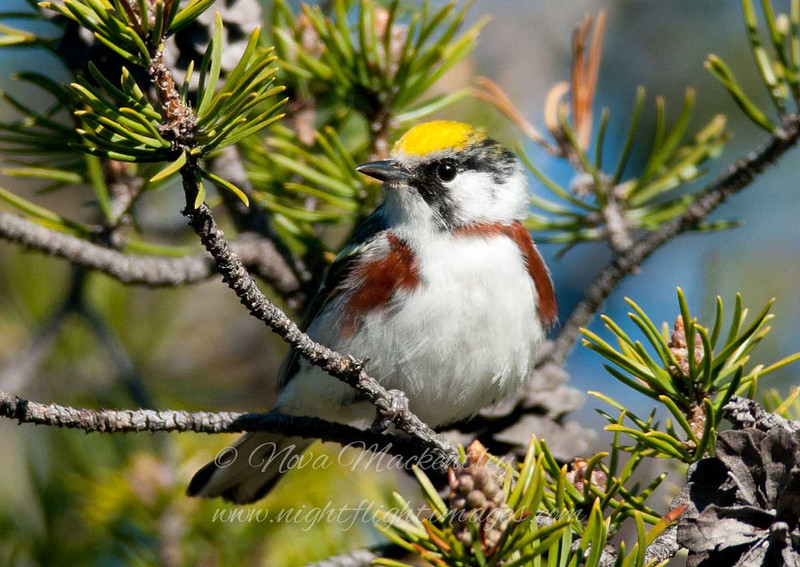 "Chestnut-sided Warbler © 2011 Nova Mackentley Whitefish Point, MI CSW  <div class=""ss-paypal-button""><div class=""ss-paypal-add-to-cart-section""><div class=""ss-paypal-product-options""><h4>Mat Sizes</h4><ul><li><a href=""https://www.paypal.com/cgi-bin/webscr?cmd=_cart&business=T77V5VKCW4K2U&lc=US&item_name=Chestnut-sided%20Warbler%20%C2%A9%202011%20Nova%20Mackentley%20Whitefish%20Point%2C%20MI%20CSW&item_number=http%3A%2F%2Fwww.nightflightimages.com%2FGalleries-1%2FWarbler%2Fi-wB7fQcC&button_subtype=products&no_note=0&cn=Add%20special%20instructions%20to%20the%20seller%3A&no_shipping=2&currency_code=USD&weight_unit=lbs&add=1&bn=PP-ShopCartBF%3Abtn_cart_SM.gif%3ANonHosted&on0=Mat%20Sizes&option_select0=5%20x%207&option_amount0=10.00&option_select1=8%20x%2010&option_amount1=18.00&option_select2=11%20x%2014&option_amount2=28.00&option_select3=card&option_amount3=4.00&option_index=0&charset=utf-8&submit=&os0=5%20x%207"" target=""paypal""><span>5 x 7 $11.00 USD</span><img src=""https://www.paypalobjects.com/en_US/i/btn/btn_cart_SM.gif""></a></li><li><a href=""https://www.paypal.com/cgi-bin/webscr?cmd=_cart&business=T77V5VKCW4K2U&lc=US&item_name=Chestnut-sided%20Warbler%20%C2%A9%202011%20Nova%20Mackentley%20Whitefish%20Point%2C%20MI%20CSW&item_number=http%3A%2F%2Fwww.nightflightimages.com%2FGalleries-1%2FWarbler%2Fi-wB7fQcC&button_subtype=products&no_note=0&cn=Add%20special%20instructions%20to%20the%20seller%3A&no_shipping=2&currency_code=USD&weight_unit=lbs&add=1&bn=PP-ShopCartBF%3Abtn_cart_SM.gif%3ANonHosted&on0=Mat%20Sizes&option_select0=5%20x%207&option_amount0=10.00&option_select1=8%20x%2010&option_amount1=18.00&option_select2=11%20x%2014&option_amount2=28.00&option_select3=card&option_amount3=4.00&option_index=0&charset=utf-8&submit=&os0=8%20x%2010"" target=""paypal""><span>8 x 10 $19.00 USD</span><img src=""https://www.paypalobjects.com/en_US/i/btn/btn_cart_SM.gif""></a></li><li><a href=""https://www.paypal.com/cgi-bin/webscr?cmd=_cart&business=T77V5VKCW4K2U&lc=US&item_name=Chestnut-sided%20Warbler%20%C2%A9%202011%20Nova%20Mackentley%20Whitefish%20Point%2C%20MI%20CSW&item_number=http%3A%2F%2Fwww.nightflightimages.com%2FGalleries-1%2FWarbler%2Fi-wB7fQcC&button_subtype=products&no_note=0&cn=Add%20special%20instructions%20to%20the%20seller%3A&no_shipping=2&currency_code=USD&weight_unit=lbs&add=1&bn=PP-ShopCartBF%3Abtn_cart_SM.gif%3ANonHosted&on0=Mat%20Sizes&option_select0=5%20x%207&option_amount0=10.00&option_select1=8%20x%2010&option_amount1=18.00&option_select2=11%20x%2014&option_amount2=28.00&option_select3=card&option_amount3=4.00&option_index=0&charset=utf-8&submit=&os0=11%20x%2014"" target=""paypal""><span>11 x 14 $29.00 USD</span><img src=""https://www.paypalobjects.com/en_US/i/btn/btn_cart_SM.gif""></a></li><li><a href=""https://www.paypal.com/cgi-bin/webscr?cmd=_cart&business=T77V5VKCW4K2U&lc=US&item_name=Chestnut-sided%20Warbler%20%C2%A9%202011%20Nova%20Mackentley%20Whitefish%20Point%2C%20MI%20CSW&item_number=http%3A%2F%2Fwww.nightflightimages.com%2FGalleries-1%2FWarbler%2Fi-wB7fQcC&button_subtype=products&no_note=0&cn=Add%20special%20instructions%20to%20the%20seller%3A&no_shipping=2&currency_code=USD&weight_unit=lbs&add=1&bn=PP-ShopCartBF%3Abtn_cart_SM.gif%3ANonHosted&on0=Mat%20Sizes&option_select0=5%20x%207&option_amount0=10.00&option_select1=8%20x%2010&option_amount1=18.00&option_select2=11%20x%2014&option_amount2=28.00&option_select3=card&option_amount3=4.00&option_index=0&charset=utf-8&submit=&os0=card"" target=""paypal""><span>card $5.00 USD</span><img src=""https://www.paypalobjects.com/en_US/i/btn/btn_cart_SM.gif""></a></li></ul></div></div> <div class=""ss-paypal-view-cart-section""><a href=""https://www.paypal.com/cgi-bin/webscr?cmd=_cart&business=T77V5VKCW4K2U&display=1&item_name=Chestnut-sided%20Warbler%20%C2%A9%202011%20Nova%20Mackentley%20Whitefish%20Point%2C%20MI%20CSW&item_number=http%3A%2F%2Fwww.nightflightimages.com%2FGalleries-1%2FWarbler%2Fi-wB7fQcC&charset=utf-8&submit="" target=""paypal"" class=""ss-paypal-submit-button""><img src=""https://www.paypalobjects.com/en_US/i/btn/btn_viewcart_LG.gif""></a></div></div><div class=""ss-paypal-button-end""></div>"