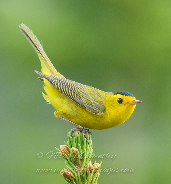 """Wilson's Warbler © 2016 Nova Mackentley Rocky Mtn NP, CO WWU  <div class=""""ss-paypal-button""""><div class=""""ss-paypal-add-to-cart-section""""><div class=""""ss-paypal-product-options""""><h4>Mat Sizes</h4><ul><li><a href=""""https://www.paypal.com/cgi-bin/webscr?cmd=_cart&amp;business=T77V5VKCW4K2U&amp;lc=US&amp;item_name=Wilson's%20Warbler%20%C2%A9%202016%20Nova%20Mackentley%20Rocky%20Mtn%20NP%2C%20CO%20WWU&amp;item_number=http%3A%2F%2Fwww.nightflightimages.com%2FGalleries-1%2FWarbler%2Fi-wdGSD4v&amp;button_subtype=products&amp;no_note=0&amp;cn=Add%20special%20instructions%20to%20the%20seller%3A&amp;no_shipping=2&amp;currency_code=USD&amp;weight_unit=lbs&amp;add=1&amp;bn=PP-ShopCartBF%3Abtn_cart_SM.gif%3ANonHosted&amp;on0=Mat%20Sizes&amp;option_select0=5%20x%207&amp;option_amount0=10.00&amp;option_select1=8%20x%2010&amp;option_amount1=18.00&amp;option_select2=11%20x%2014&amp;option_amount2=28.00&amp;option_select3=card&amp;option_amount3=4.00&amp;option_index=0&amp;charset=utf-8&amp;submit=&amp;os0=5%20x%207"""" target=""""paypal""""><span>5 x 7 $11.00 USD</span><img src=""""https://www.paypalobjects.com/en_US/i/btn/btn_cart_SM.gif""""></a></li><li><a href=""""https://www.paypal.com/cgi-bin/webscr?cmd=_cart&amp;business=T77V5VKCW4K2U&amp;lc=US&amp;item_name=Wilson's%20Warbler%20%C2%A9%202016%20Nova%20Mackentley%20Rocky%20Mtn%20NP%2C%20CO%20WWU&amp;item_number=http%3A%2F%2Fwww.nightflightimages.com%2FGalleries-1%2FWarbler%2Fi-wdGSD4v&amp;button_subtype=products&amp;no_note=0&amp;cn=Add%20special%20instructions%20to%20the%20seller%3A&amp;no_shipping=2&amp;currency_code=USD&amp;weight_unit=lbs&amp;add=1&amp;bn=PP-ShopCartBF%3Abtn_cart_SM.gif%3ANonHosted&amp;on0=Mat%20Sizes&amp;option_select0=5%20x%207&amp;option_amount0=10.00&amp;option_select1=8%20x%2010&amp;option_amount1=18.00&amp;option_select2=11%20x%2014&amp;option_amount2=28.00&amp;option_select3=card&amp;option_amount3=4.00&amp;option_index=0&amp;charset=utf-8&amp;submit=&amp;os0=8%20x%2010"""" target=""""paypal""""><span>8 x 10 $19.00 USD</span><img s"""