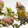 "Cape May warbler in apple tree © 2016 Nova Mackentley Eagle Harbor, MI CAA  <div class=""ss-paypal-button""><div class=""ss-paypal-add-to-cart-section""><div class=""ss-paypal-product-options""><h4>Mat Sizes</h4><ul><li><a href=""https://www.paypal.com/cgi-bin/webscr?cmd=_cart&amp;business=T77V5VKCW4K2U&amp;lc=US&amp;item_name=Cape%20May%20warbler%20in%20apple%20tree%20%C2%A9%202016%20Nova%20Mackentley%20Eagle%20Harbor%2C%20MI%20CAA&amp;item_number=http%3A%2F%2Fwww.nightflightimages.com%2FGalleries-1%2FWarbler%2Fi-x897r9b&amp;button_subtype=products&amp;no_note=0&amp;cn=Add%20special%20instructions%20to%20the%20seller%3A&amp;no_shipping=2&amp;currency_code=USD&amp;weight_unit=lbs&amp;add=1&amp;bn=PP-ShopCartBF%3Abtn_cart_SM.gif%3ANonHosted&amp;on0=Mat%20Sizes&amp;option_select0=5%20x%207&amp;option_amount0=10.00&amp;option_select1=8%20x%2010&amp;option_amount1=18.00&amp;option_select2=11%20x%2014&amp;option_amount2=28.00&amp;option_select3=card&amp;option_amount3=4.00&amp;option_index=0&amp;charset=utf-8&amp;submit=&amp;os0=5%20x%207"" target=""paypal""><span>5 x 7 $11.00 USD</span><img src=""https://www.paypalobjects.com/en_US/i/btn/btn_cart_SM.gif""></a></li><li><a href=""https://www.paypal.com/cgi-bin/webscr?cmd=_cart&amp;business=T77V5VKCW4K2U&amp;lc=US&amp;item_name=Cape%20May%20warbler%20in%20apple%20tree%20%C2%A9%202016%20Nova%20Mackentley%20Eagle%20Harbor%2C%20MI%20CAA&amp;item_number=http%3A%2F%2Fwww.nightflightimages.com%2FGalleries-1%2FWarbler%2Fi-x897r9b&amp;button_subtype=products&amp;no_note=0&amp;cn=Add%20special%20instructions%20to%20the%20seller%3A&amp;no_shipping=2&amp;currency_code=USD&amp;weight_unit=lbs&amp;add=1&amp;bn=PP-ShopCartBF%3Abtn_cart_SM.gif%3ANonHosted&amp;on0=Mat%20Sizes&amp;option_select0=5%20x%207&amp;option_amount0=10.00&amp;option_select1=8%20x%2010&amp;option_amount1=18.00&amp;option_select2=11%20x%2014&amp;option_amount2=28.00&amp;option_select3=card&amp;option_amount3=4.00&amp;option_index=0&amp;charset=utf-8&amp;submit=&amp;os0=8%20x%2010"" target=""paypal""><span>8 x 10 $19.00 USD</span><img src=""https://www.paypalobjects.com/en_US/i/btn/btn_cart_SM.gif""></a></li><li><a href=""https://www.paypal.com/cgi-bin/webscr?cmd=_cart&amp;business=T77V5VKCW4K2U&amp;lc=US&amp;item_name=Cape%20May%20warbler%20in%20apple%20tree%20%C2%A9%202016%20Nova%20Mackentley%20Eagle%20Harbor%2C%20MI%20CAA&amp;item_number=http%3A%2F%2Fwww.nightflightimages.com%2FGalleries-1%2FWarbler%2Fi-x897r9b&amp;button_subtype=products&amp;no_note=0&amp;cn=Add%20special%20instructions%20to%20the%20seller%3A&amp;no_shipping=2&amp;currency_code=USD&amp;weight_unit=lbs&amp;add=1&amp;bn=PP-ShopCartBF%3Abtn_cart_SM.gif%3ANonHosted&amp;on0=Mat%20Sizes&amp;option_select0=5%20x%207&amp;option_amount0=10.00&amp;option_select1=8%20x%2010&amp;option_amount1=18.00&amp;option_select2=11%20x%2014&amp;option_amount2=28.00&amp;option_select3=card&amp;option_amount3=4.00&amp;option_index=0&amp;charset=utf-8&amp;submit=&amp;os0=11%20x%2014"" target=""paypal""><span>11 x 14 $29.00 USD</span><img src=""https://www.paypalobjects.com/en_US/i/btn/btn_cart_SM.gif""></a></li><li><a href=""https://www.paypal.com/cgi-bin/webscr?cmd=_cart&amp;business=T77V5VKCW4K2U&amp;lc=US&amp;item_name=Cape%20May%20warbler%20in%20apple%20tree%20%C2%A9%202016%20Nova%20Mackentley%20Eagle%20Harbor%2C%20MI%20CAA&amp;item_number=http%3A%2F%2Fwww.nightflightimages.com%2FGalleries-1%2FWarbler%2Fi-x897r9b&amp;button_subtype=products&amp;no_note=0&amp;cn=Add%20special%20instructions%20to%20the%20seller%3A&amp;no_shipping=2&amp;currency_code=USD&amp;weight_unit=lbs&amp;add=1&amp;bn=PP-ShopCartBF%3Abtn_cart_SM.gif%3ANonHosted&amp;on0=Mat%20Sizes&amp;option_select0=5%20x%207&amp;option_amount0=10.00&amp;option_select1=8%20x%2010&amp;option_amount1=18.00&amp;option_select2=11%20x%2014&amp;option_amount2=28.00&amp;option_select3=card&amp;option_amount3=4.00&amp;option_index=0&amp;charset=utf-8&amp;submit=&amp;os0=card"" target=""paypal""><span>card $5.00 USD</span><img src=""https://www.paypalobjects.com/en_US/i/btn/btn_cart_SM.gif""></a></li></ul></div></div> <div class=""ss-paypal-view-cart-section""><a href=""https://www.paypal.com/cgi-bin/webscr?cmd=_cart&amp;business=T77V5VKCW4K2U&amp;display=1&amp;item_name=Cape%20May%20warbler%20in%20apple%20tree%20%C2%A9%202016%20Nova%20Mackentley%20Eagle%20Harbor%2C%20MI%20CAA&amp;item_number=http%3A%2F%2Fwww.nightflightimages.com%2FGalleries-1%2FWarbler%2Fi-x897r9b&amp;charset=utf-8&amp;submit="" target=""paypal"" class=""ss-paypal-submit-button""><img src=""https://www.paypalobjects.com/en_US/i/btn/btn_viewcart_LG.gif""></a></div></div><div class=""ss-paypal-button-end""></div>"