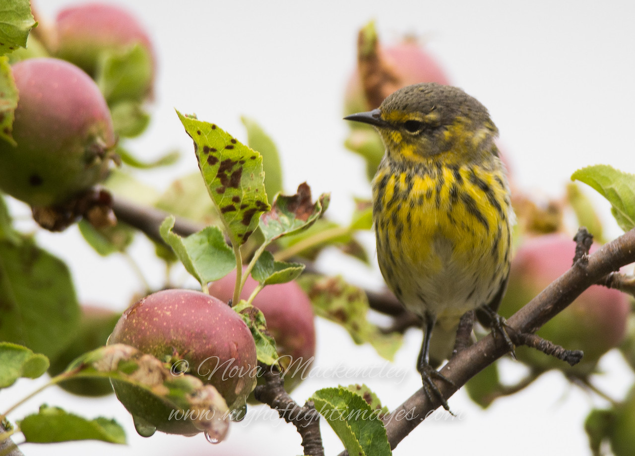 "Cape May warbler in apple tree © 2016 Nova Mackentley Eagle Harbor, MI CAA  <div class=""ss-paypal-button""><div class=""ss-paypal-add-to-cart-section""><div class=""ss-paypal-product-options""><h4>Mat Sizes</h4><ul><li><a href=""https://www.paypal.com/cgi-bin/webscr?cmd=_cart&business=T77V5VKCW4K2U&lc=US&item_name=Cape%20May%20warbler%20in%20apple%20tree%20%C2%A9%202016%20Nova%20Mackentley%20Eagle%20Harbor%2C%20MI%20CAA&item_number=http%3A%2F%2Fwww.nightflightimages.com%2FGalleries-1%2FWarbler%2Fi-x897r9b&button_subtype=products&no_note=0&cn=Add%20special%20instructions%20to%20the%20seller%3A&no_shipping=2&currency_code=USD&weight_unit=lbs&add=1&bn=PP-ShopCartBF%3Abtn_cart_SM.gif%3ANonHosted&on0=Mat%20Sizes&option_select0=5%20x%207&option_amount0=10.00&option_select1=8%20x%2010&option_amount1=18.00&option_select2=11%20x%2014&option_amount2=28.00&option_select3=card&option_amount3=4.00&option_index=0&charset=utf-8&submit=&os0=5%20x%207"" target=""paypal""><span>5 x 7 $11.00 USD</span><img src=""https://www.paypalobjects.com/en_US/i/btn/btn_cart_SM.gif""></a></li><li><a href=""https://www.paypal.com/cgi-bin/webscr?cmd=_cart&business=T77V5VKCW4K2U&lc=US&item_name=Cape%20May%20warbler%20in%20apple%20tree%20%C2%A9%202016%20Nova%20Mackentley%20Eagle%20Harbor%2C%20MI%20CAA&item_number=http%3A%2F%2Fwww.nightflightimages.com%2FGalleries-1%2FWarbler%2Fi-x897r9b&button_subtype=products&no_note=0&cn=Add%20special%20instructions%20to%20the%20seller%3A&no_shipping=2&currency_code=USD&weight_unit=lbs&add=1&bn=PP-ShopCartBF%3Abtn_cart_SM.gif%3ANonHosted&on0=Mat%20Sizes&option_select0=5%20x%207&option_amount0=10.00&option_select1=8%20x%2010&option_amount1=18.00&option_select2=11%20x%2014&option_amount2=28.00&option_select3=card&option_amount3=4.00&option_index=0&charset=utf-8&submit=&os0=8%20x%2010"" target=""paypal""><span>8 x 10 $19.00 USD</span><img src=""https://www.paypalobjects.com/en_US/i/btn/btn_cart_SM.gif""></a></li><li><a href=""https://www.paypal.com/cgi-bin/webscr?cmd=_cart&business=T77V5VKCW4K2U&lc=US&item_name=Cape%20May%20warbler%20in%20apple%20tree%20%C2%A9%202016%20Nova%20Mackentley%20Eagle%20Harbor%2C%20MI%20CAA&item_number=http%3A%2F%2Fwww.nightflightimages.com%2FGalleries-1%2FWarbler%2Fi-x897r9b&button_subtype=products&no_note=0&cn=Add%20special%20instructions%20to%20the%20seller%3A&no_shipping=2&currency_code=USD&weight_unit=lbs&add=1&bn=PP-ShopCartBF%3Abtn_cart_SM.gif%3ANonHosted&on0=Mat%20Sizes&option_select0=5%20x%207&option_amount0=10.00&option_select1=8%20x%2010&option_amount1=18.00&option_select2=11%20x%2014&option_amount2=28.00&option_select3=card&option_amount3=4.00&option_index=0&charset=utf-8&submit=&os0=11%20x%2014"" target=""paypal""><span>11 x 14 $29.00 USD</span><img src=""https://www.paypalobjects.com/en_US/i/btn/btn_cart_SM.gif""></a></li><li><a href=""https://www.paypal.com/cgi-bin/webscr?cmd=_cart&business=T77V5VKCW4K2U&lc=US&item_name=Cape%20May%20warbler%20in%20apple%20tree%20%C2%A9%202016%20Nova%20Mackentley%20Eagle%20Harbor%2C%20MI%20CAA&item_number=http%3A%2F%2Fwww.nightflightimages.com%2FGalleries-1%2FWarbler%2Fi-x897r9b&button_subtype=products&no_note=0&cn=Add%20special%20instructions%20to%20the%20seller%3A&no_shipping=2&currency_code=USD&weight_unit=lbs&add=1&bn=PP-ShopCartBF%3Abtn_cart_SM.gif%3ANonHosted&on0=Mat%20Sizes&option_select0=5%20x%207&option_amount0=10.00&option_select1=8%20x%2010&option_amount1=18.00&option_select2=11%20x%2014&option_amount2=28.00&option_select3=card&option_amount3=4.00&option_index=0&charset=utf-8&submit=&os0=card"" target=""paypal""><span>card $5.00 USD</span><img src=""https://www.paypalobjects.com/en_US/i/btn/btn_cart_SM.gif""></a></li></ul></div></div> <div class=""ss-paypal-view-cart-section""><a href=""https://www.paypal.com/cgi-bin/webscr?cmd=_cart&business=T77V5VKCW4K2U&display=1&item_name=Cape%20May%20warbler%20in%20apple%20tree%20%C2%A9%202016%20Nova%20Mackentley%20Eagle%20Harbor%2C%20MI%20CAA&item_number=http%3A%2F%2Fwww.nightflightimages.com%2FGalleries-1%2FWarbler%2Fi-x897r9b&charset=utf-8&submit="" target=""paypal"" class=""ss-paypal-submit-button""><img src=""https://www.paypalobjects.com/en_US/i/btn/btn_viewcart_LG.gif""></a></div></div><div class=""ss-paypal-button-end""></div>"