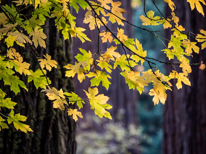 Fall Leaves, Yosemite