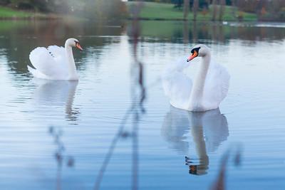 Swans Pairing by Ryan Cowan Photography