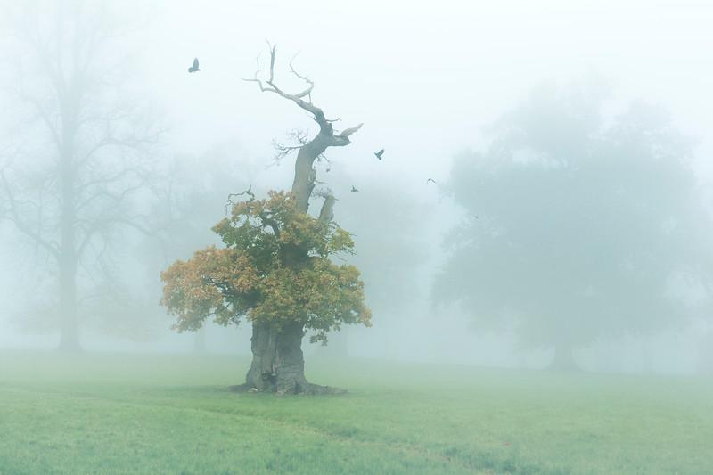 Old Oak in the fog