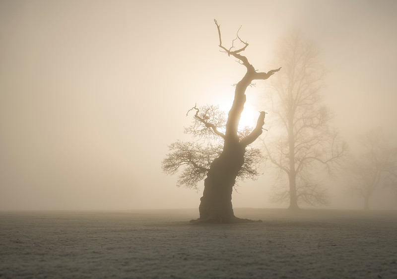 Ancient Tree Silhoette