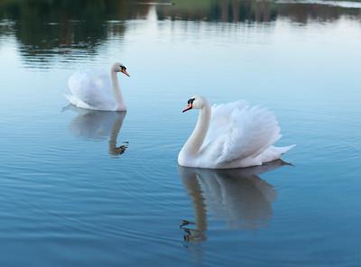 Swan_Pairing_by_Ryan_Cowan_Photography