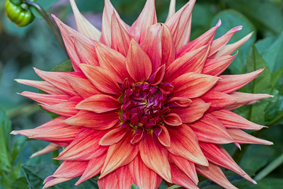 Color Spectacle Dahlia