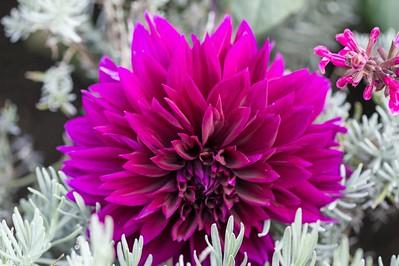 Deep Pink Dahlia 3