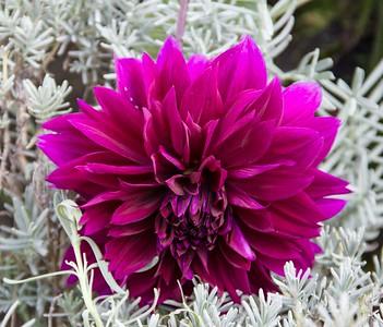 Deep Pink Dahlia 4