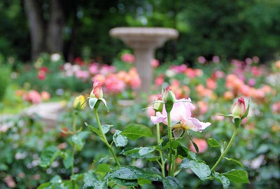 Roses and Fountain 2