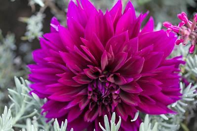 Deep Pink Dahlia 1