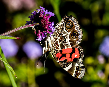 American Lady Butterfly on Verbena