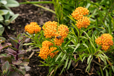 Asclepias tuberosa (butterfly weed) Attracts Pollinators