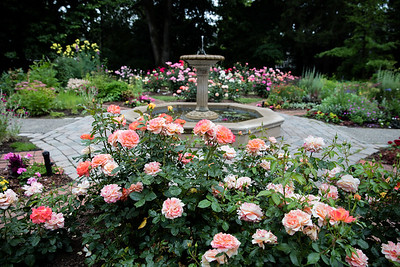 Roses and the Fountain at Avis Campbell Gardens