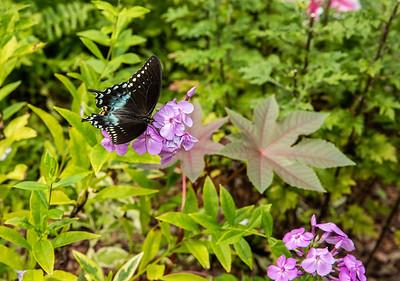 Black Swallowtail on Phlox at Avis Campbell